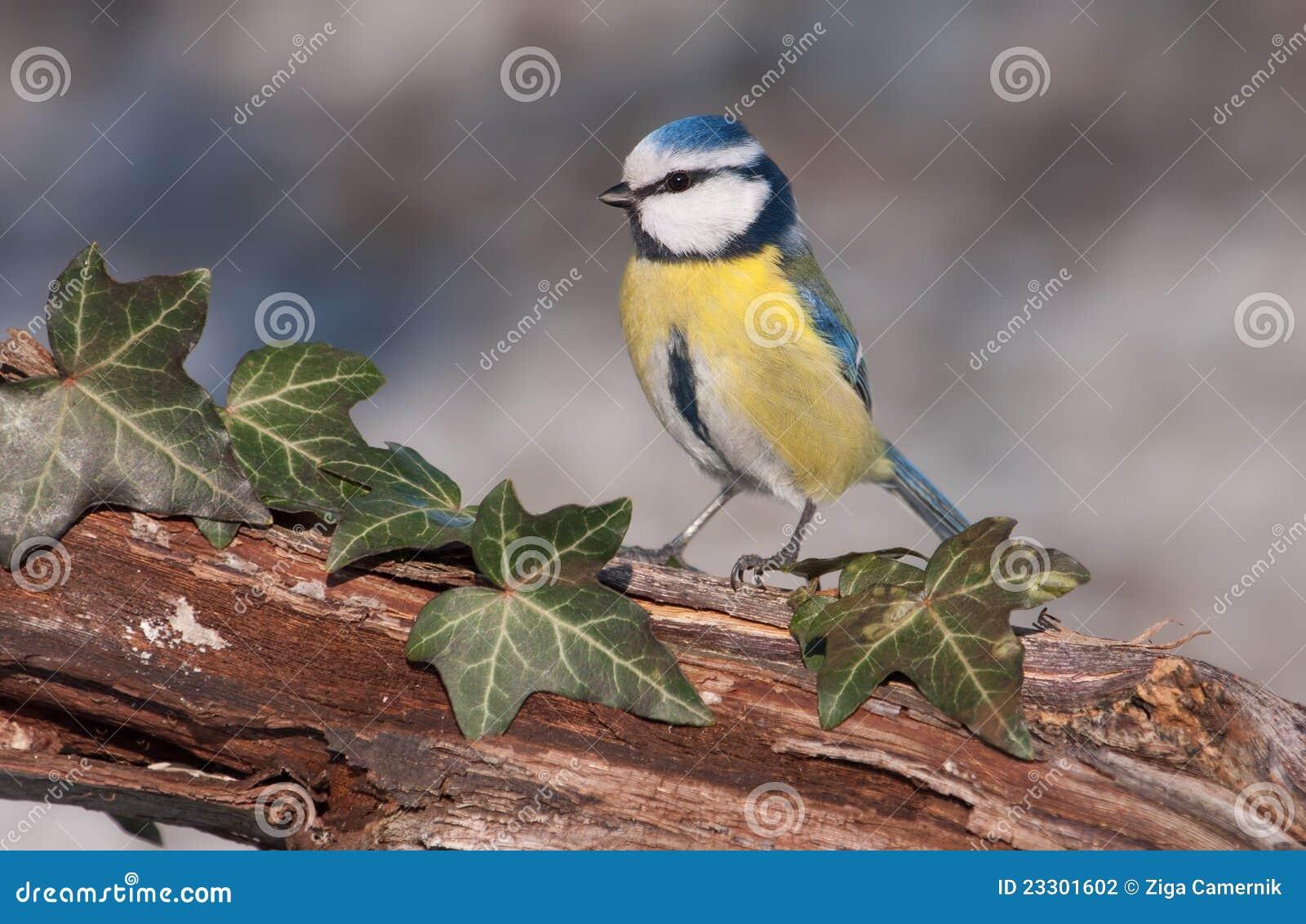 蓝色caeruleus parus山雀