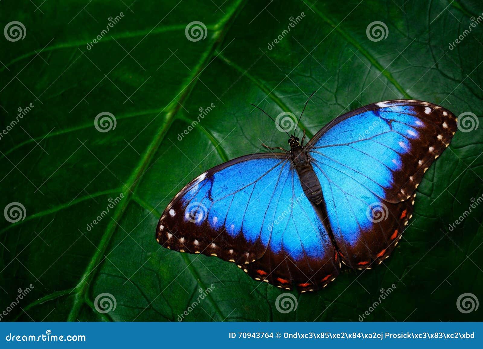 蓝色Morpho, Morpho peleides,大蝴蝶坐绿色叶子,美丽的昆虫在自然栖所,野生生物,亚马逊,每