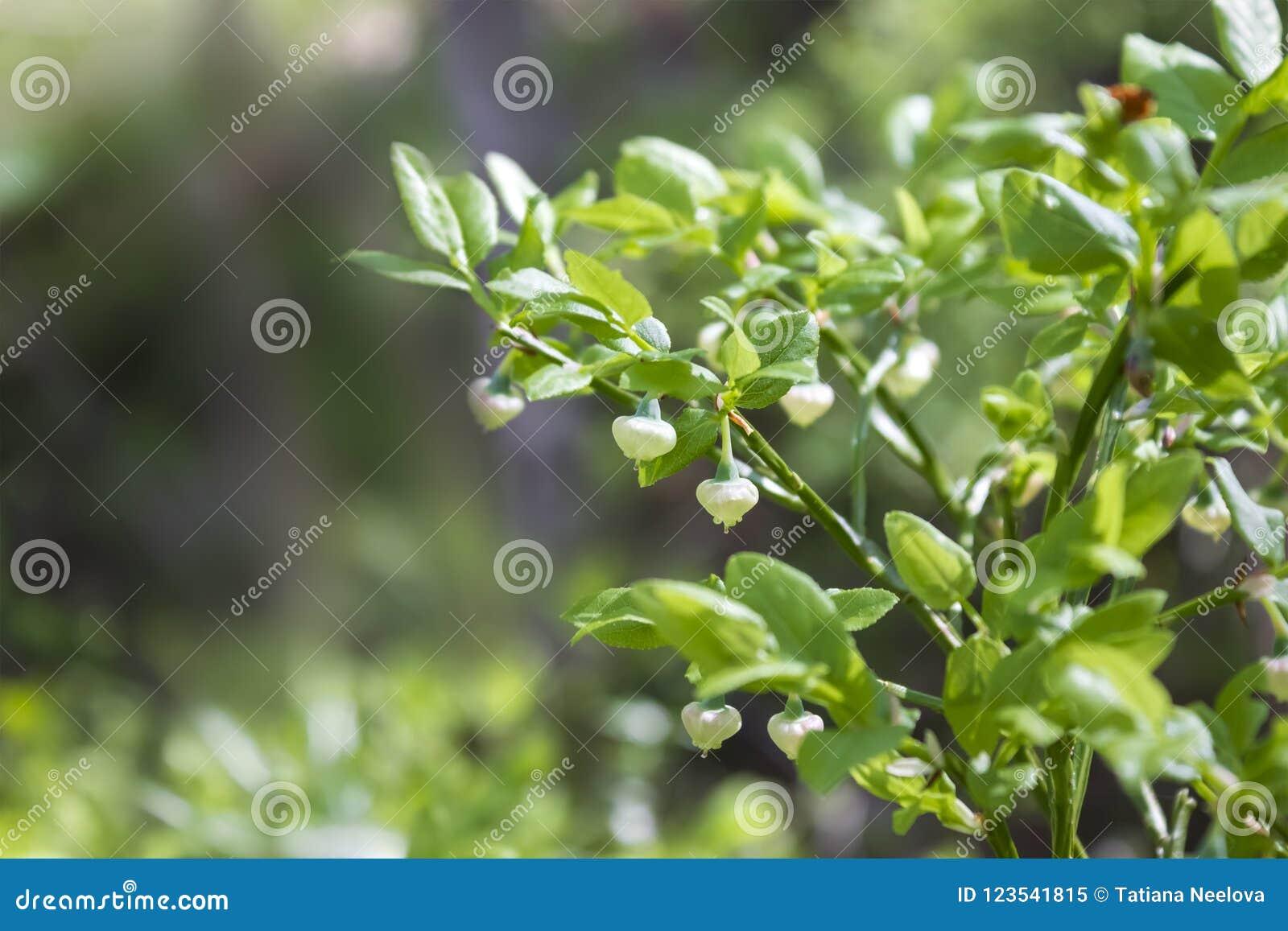 蓝莓、牛痘uliginosum、花在春天森林晴天和狂放的绿色年轻人开花的越桔照片在ea