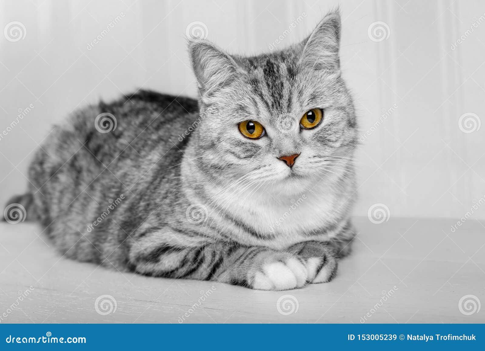 蓬松灰色美丽的成人猫,品种苏格兰人,在白色背景的接近的画象与美丽的眼睛 苏格兰灰色画象