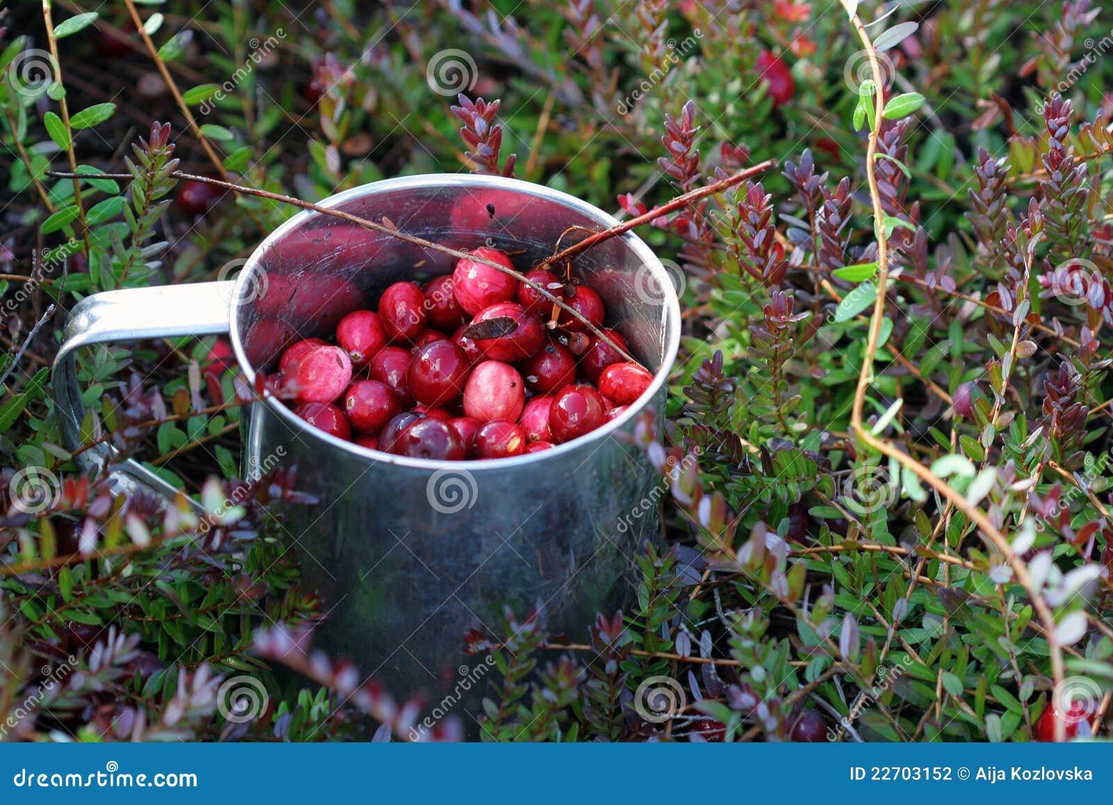 蔓越桔新鲜的杯子被采摘的沼泽