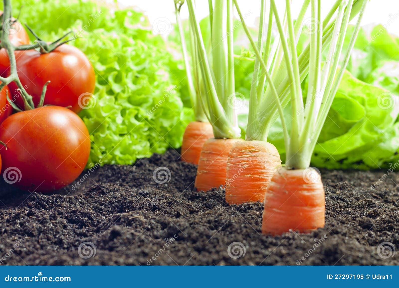 蔬菜栽培在庭院里