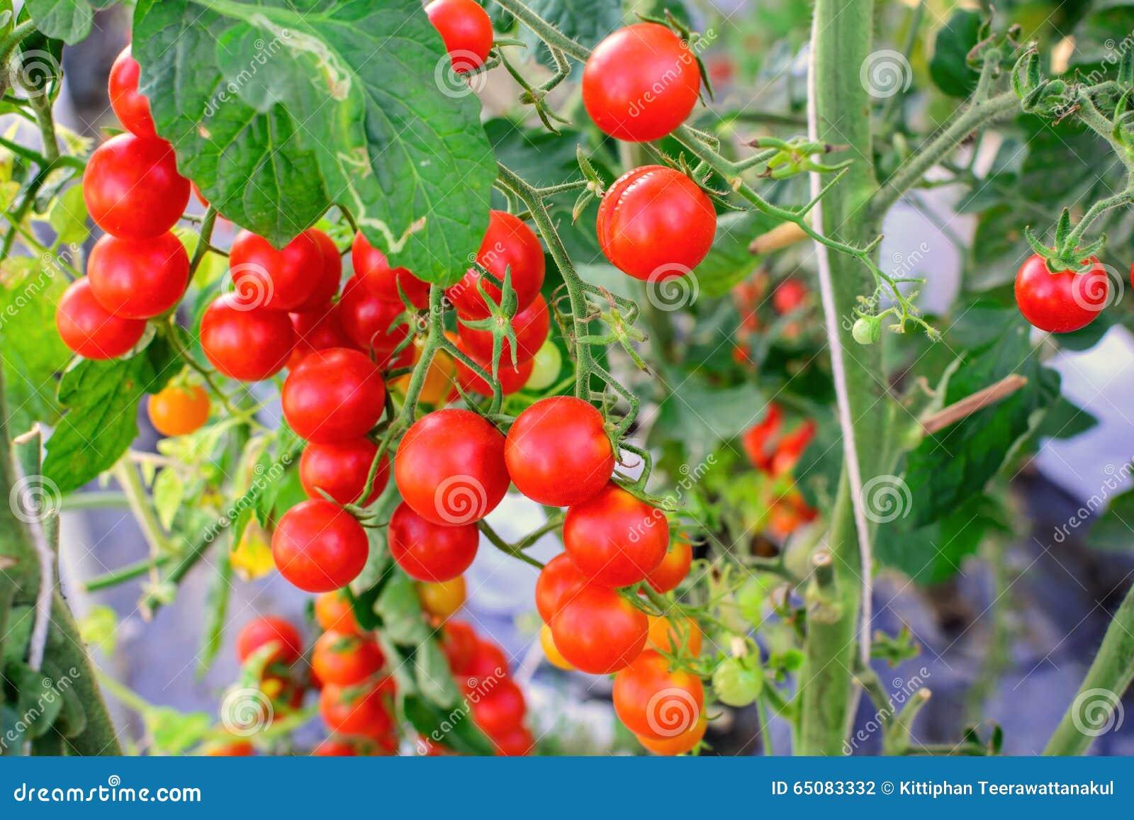 蕃茄生长在农业有机农场的一束