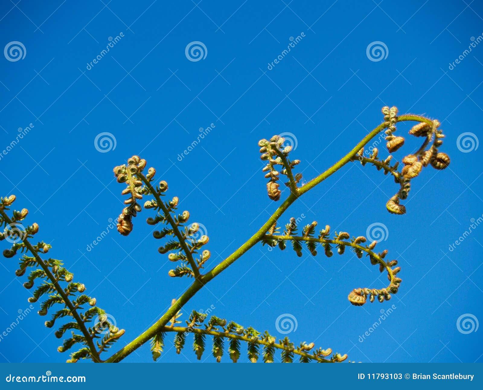 蕨叶状体增长新的结构树