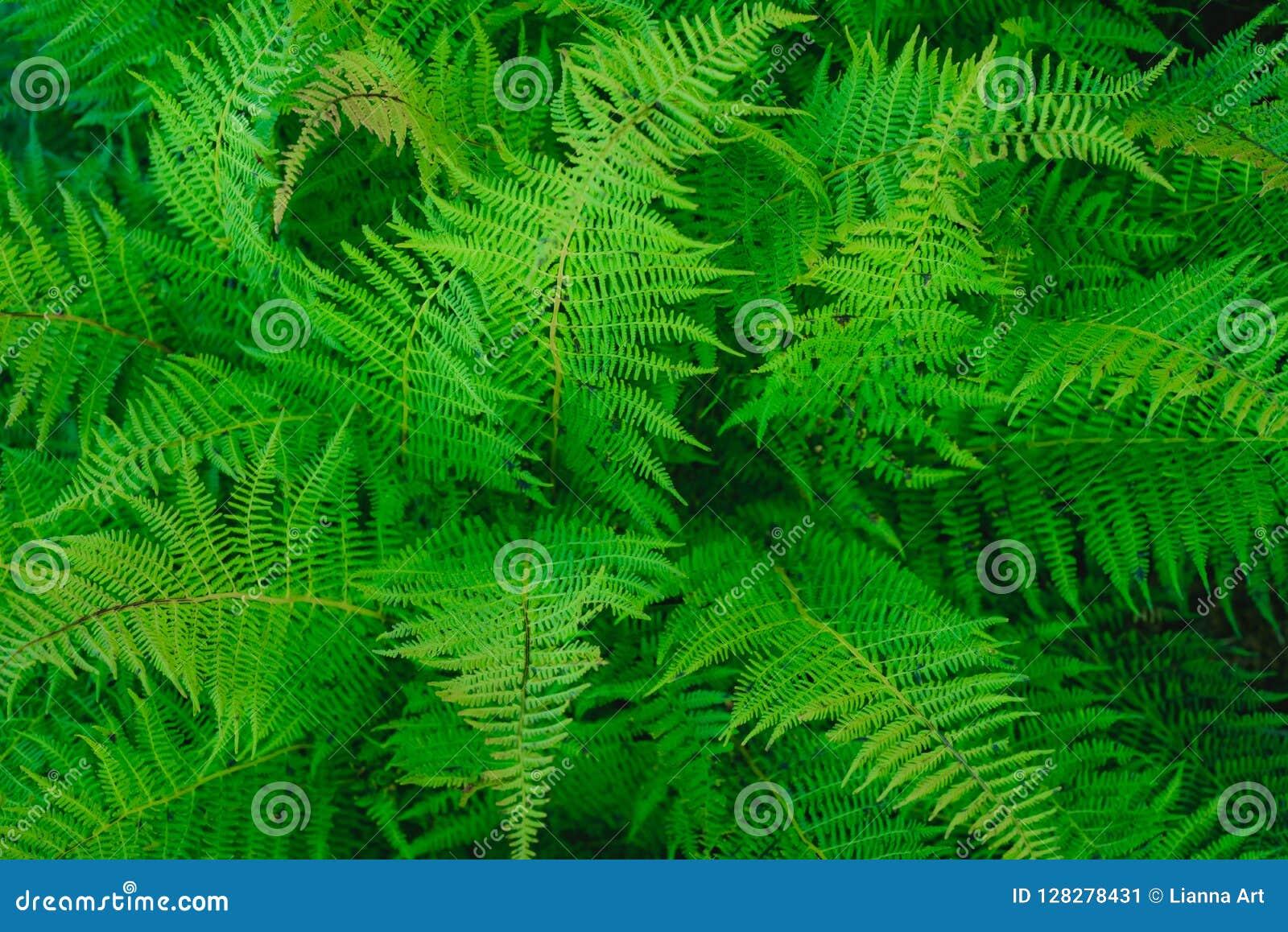 蕨的布什在夏天森林离开
