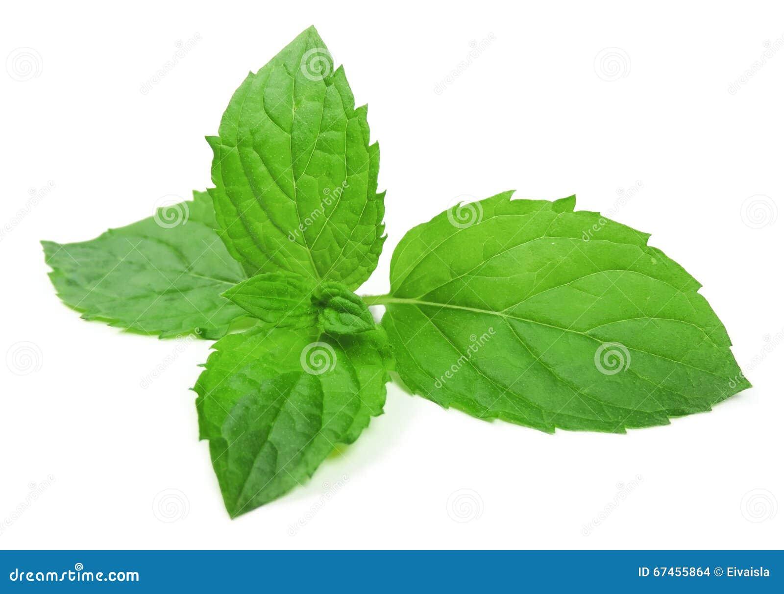 薄荷叶子,在白色 薄荷的叶子.图片