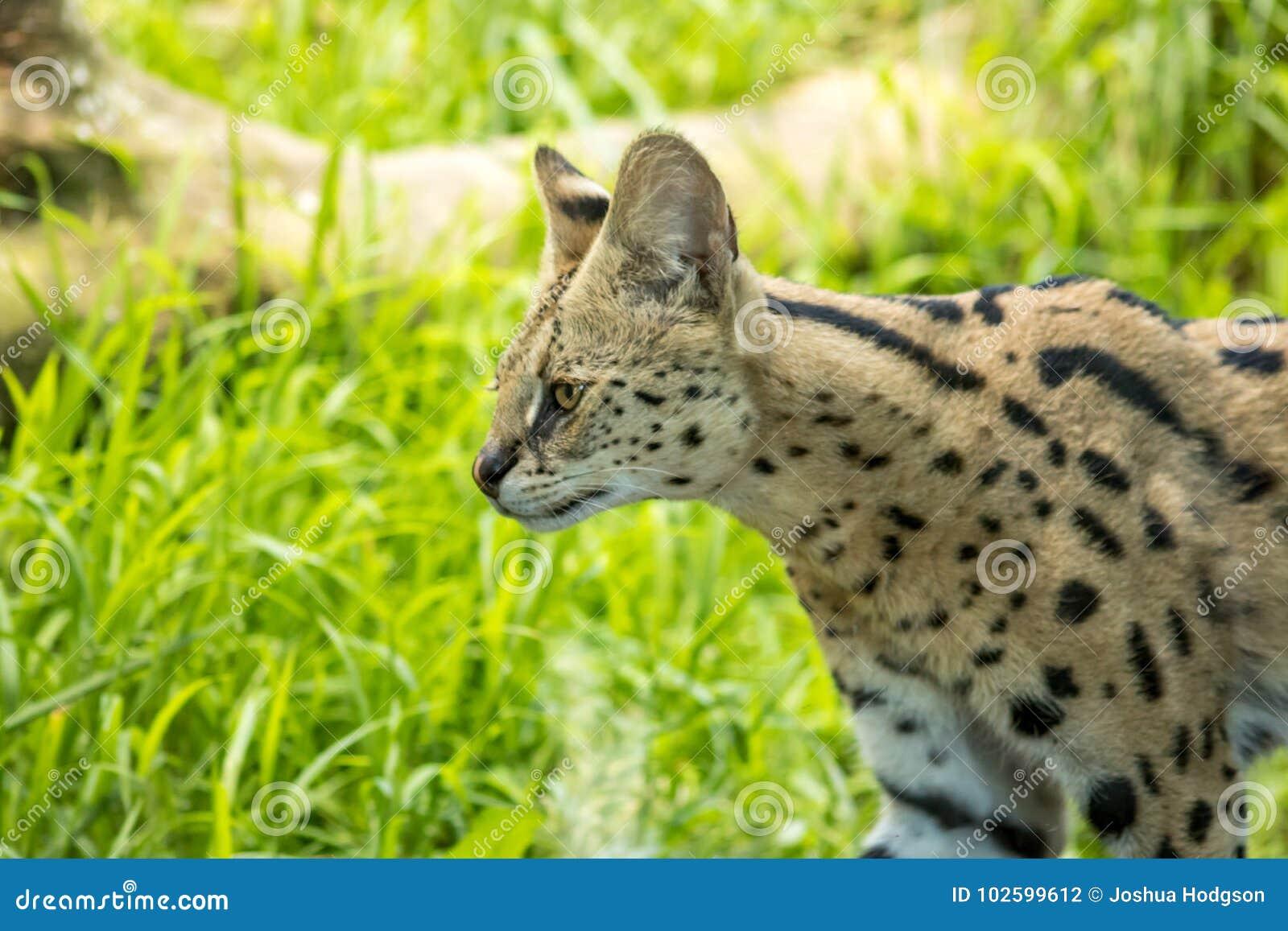 薮猫偷偷靠近在草原的,中型野生猫