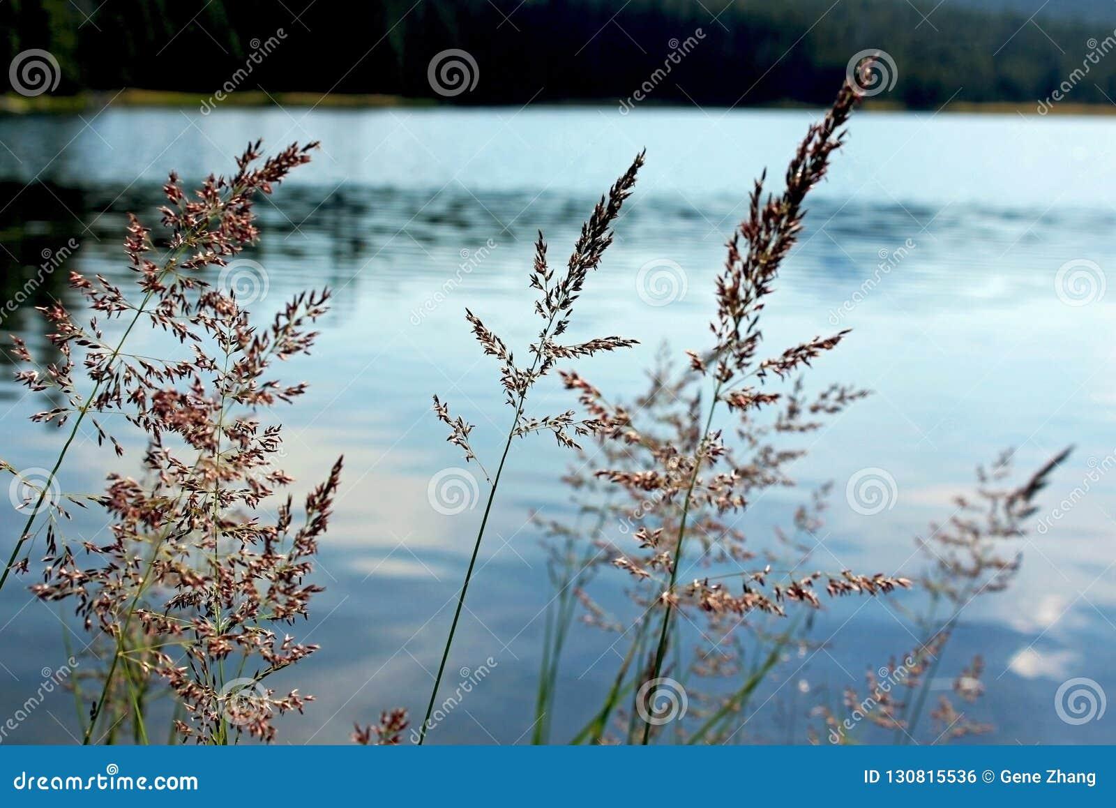 薹,图奥勒米草甸,优胜美地国家公园