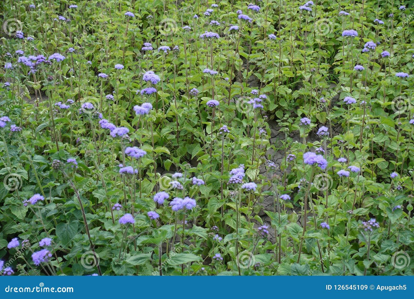 藿香蓟属houstonianum许多紫罗兰色花