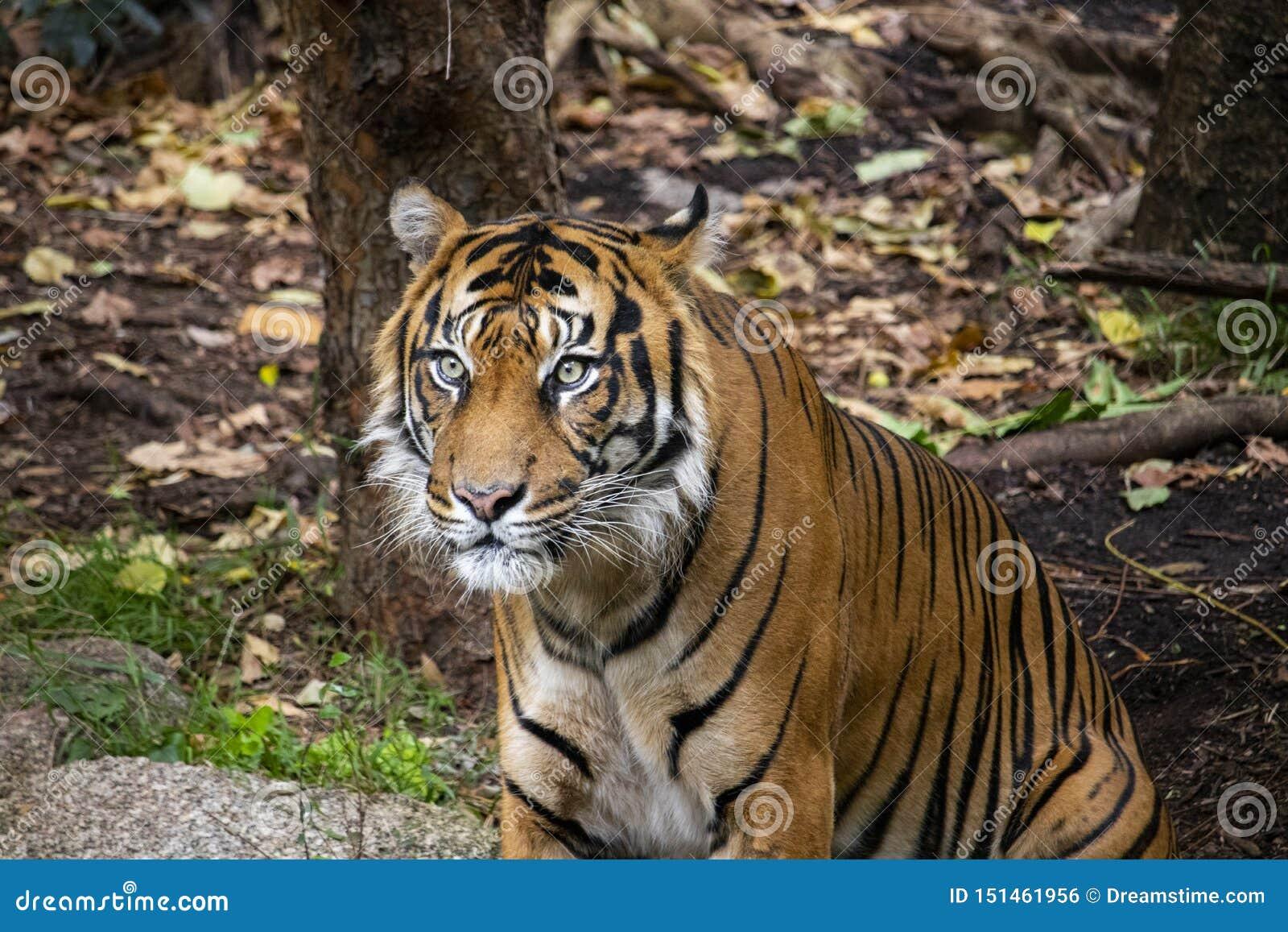 虎滩坐在他的封入物的Sumatran老虎