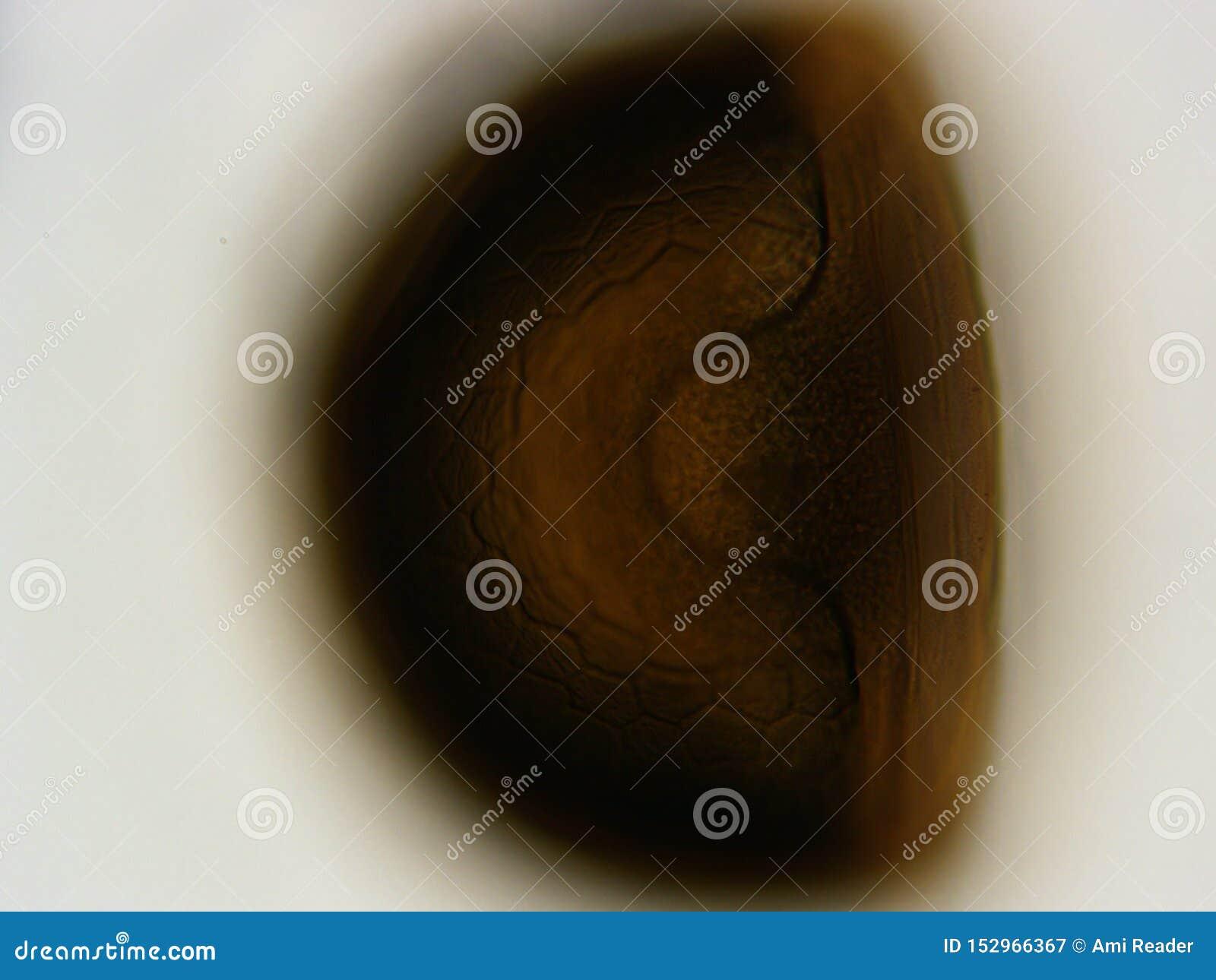 虾怂恿显微镜400x