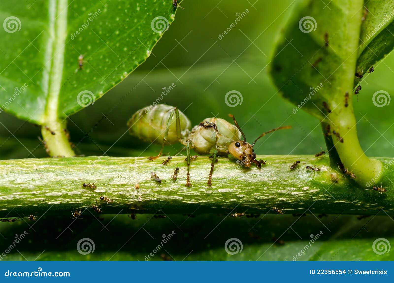 蚂蚁绿色本质女王/王后