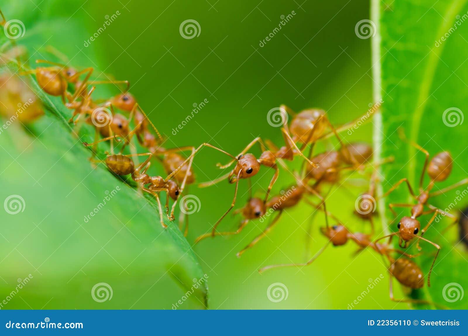 蚂蚁绿色本质红色
