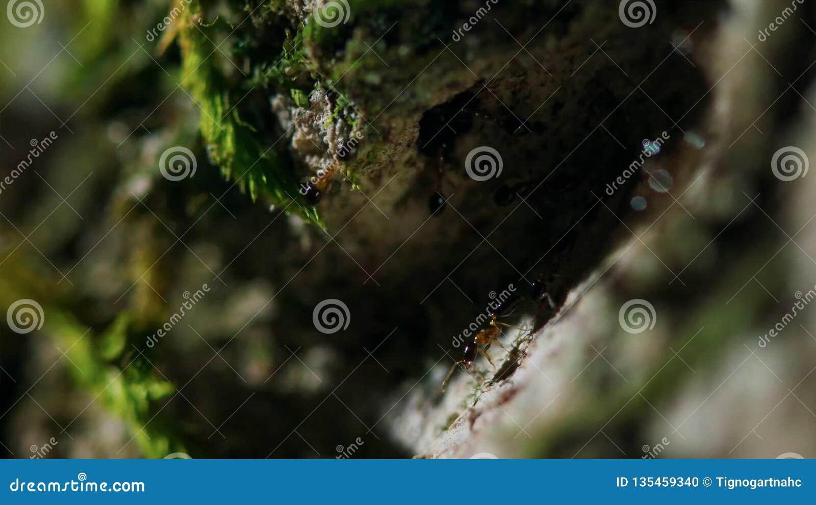 蚂蚁运载在一棵树的鸡蛋在热带雨林