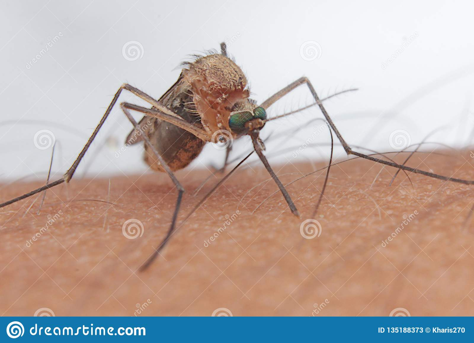 蚊子血液猎人人的昆虫