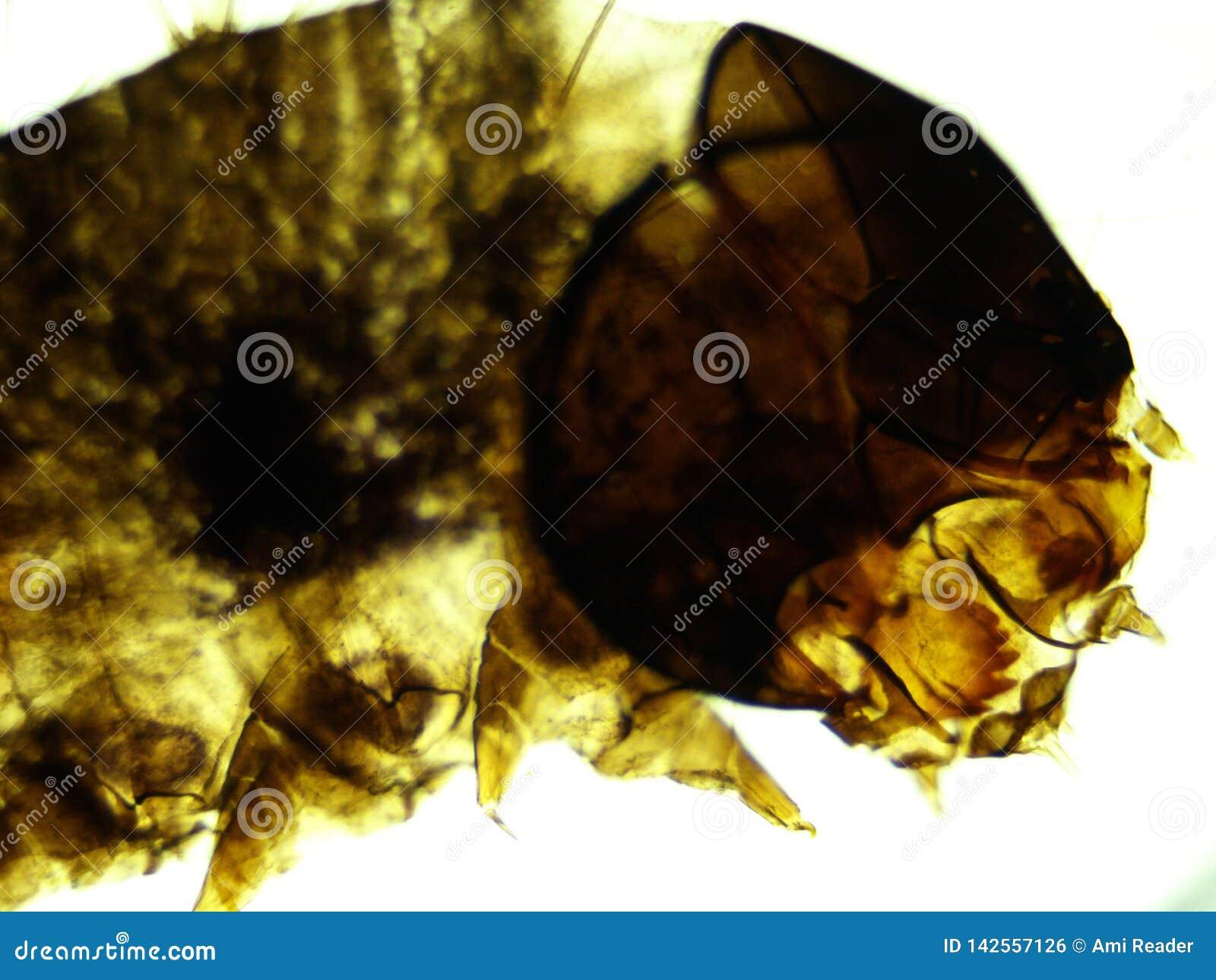 蚕蛾幼虫100x头和某些身体