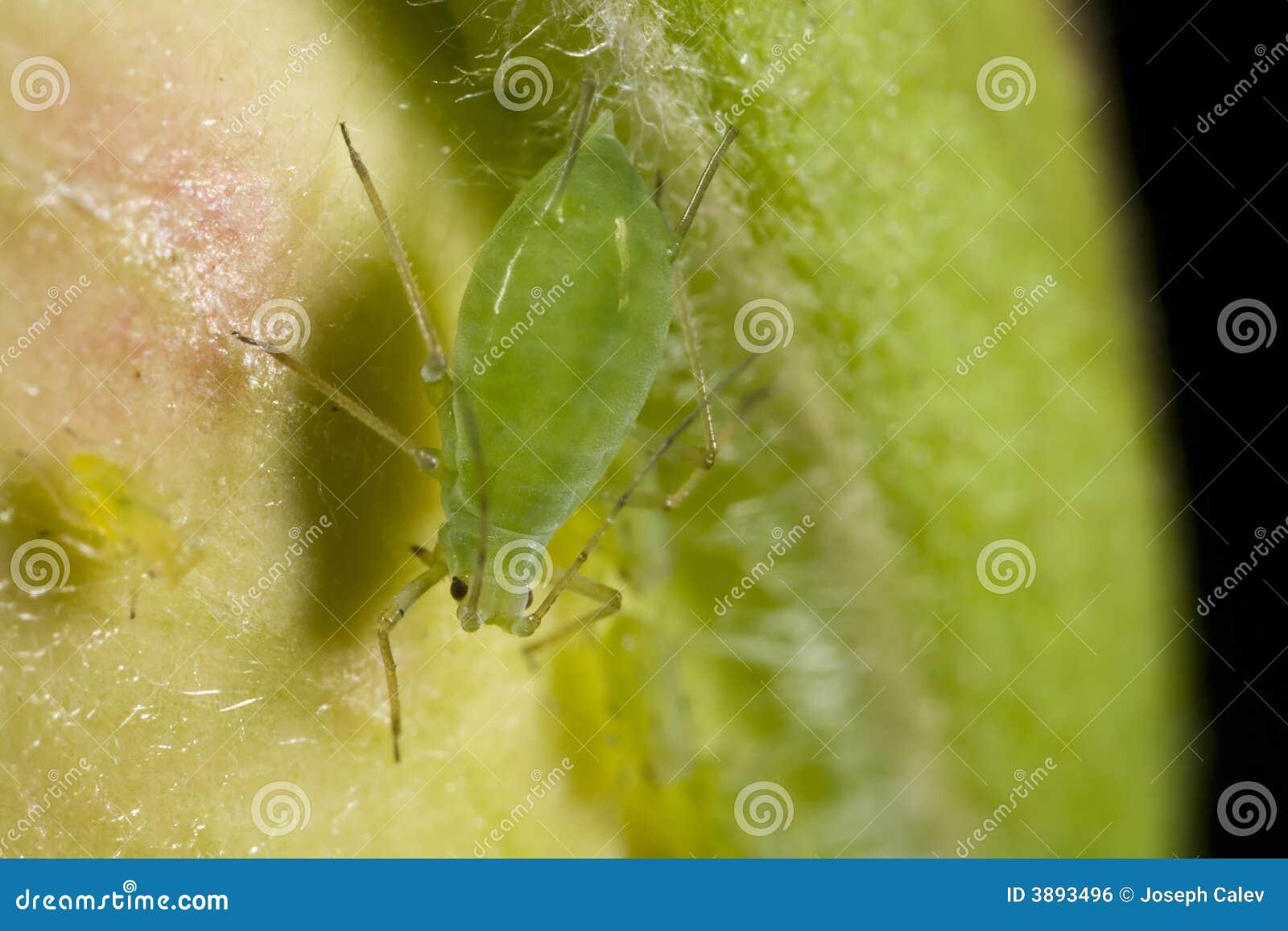 蚜虫特写镜头绿色