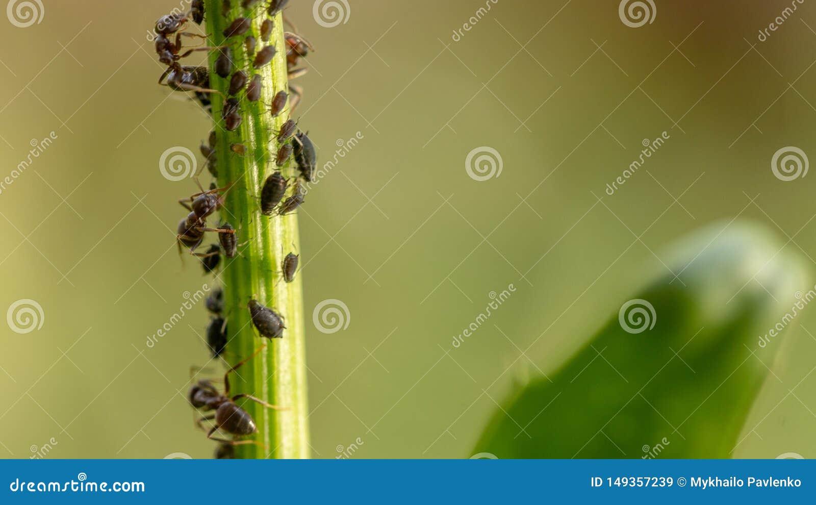 蚜虫,一条虫,苹果树分支的 昆虫在植物's汁液哺养,毁坏叶子,传播的疾病和