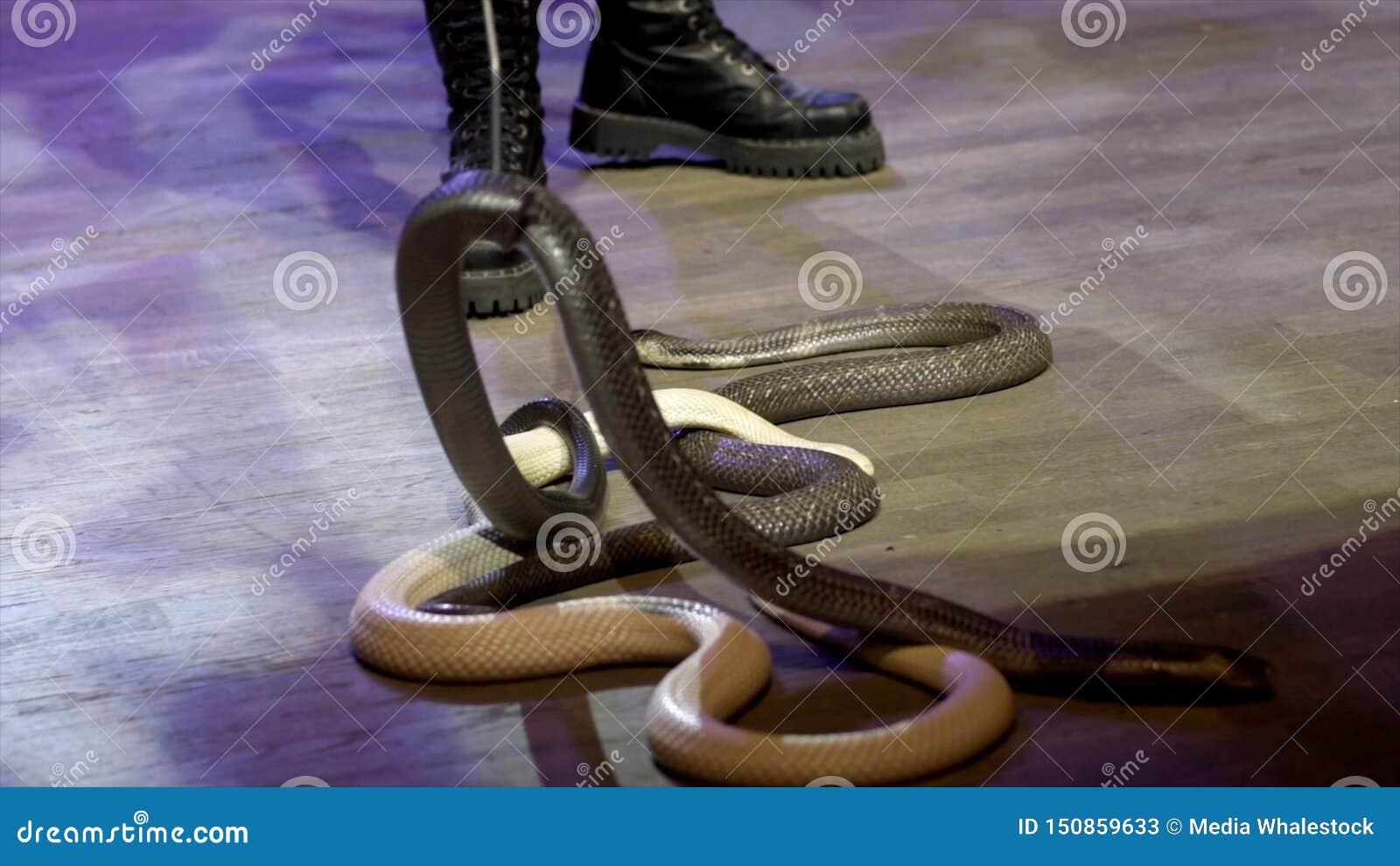 蛇特写镜头在马戏的 r 在表现期间,有魅力者收集蛇渐增音量马戏竞技场 ??