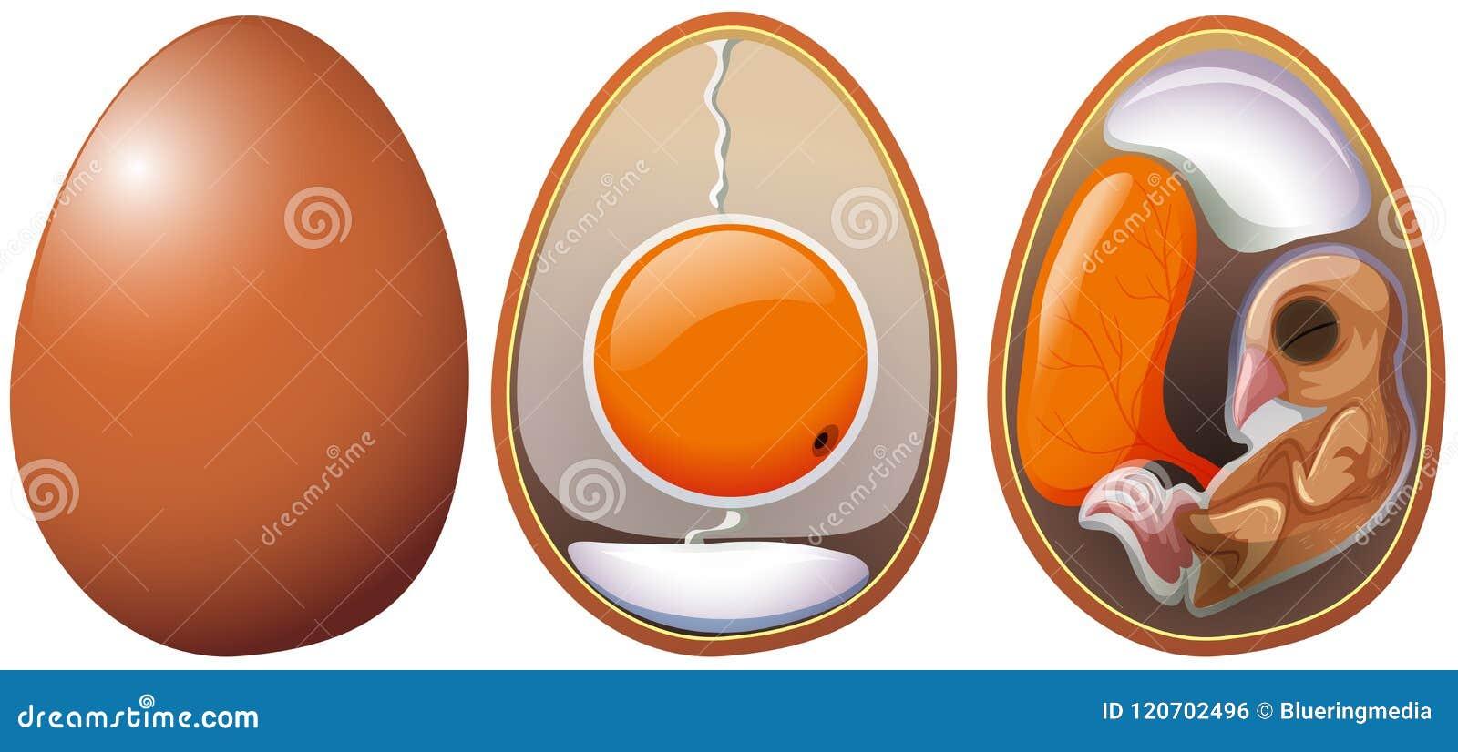 蛋发展阶段