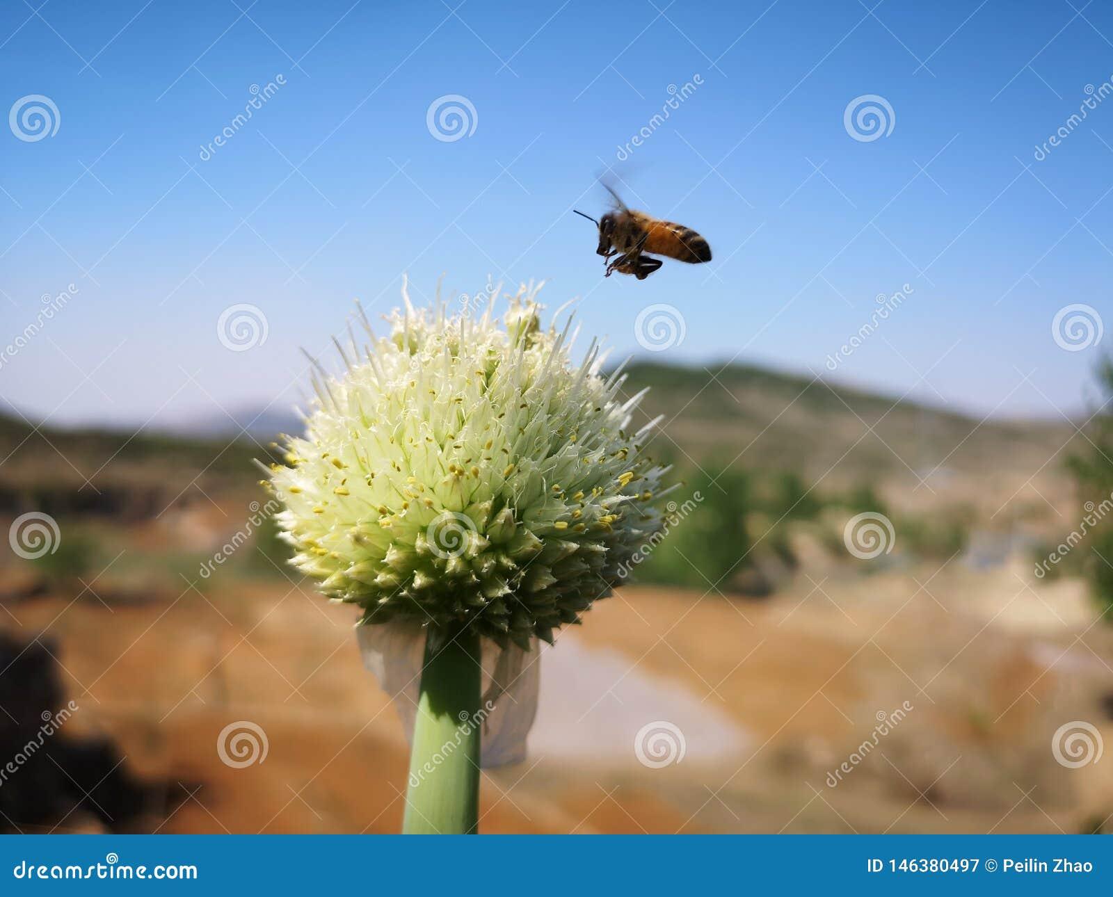 蜂临近一棵绿色中国葱花
