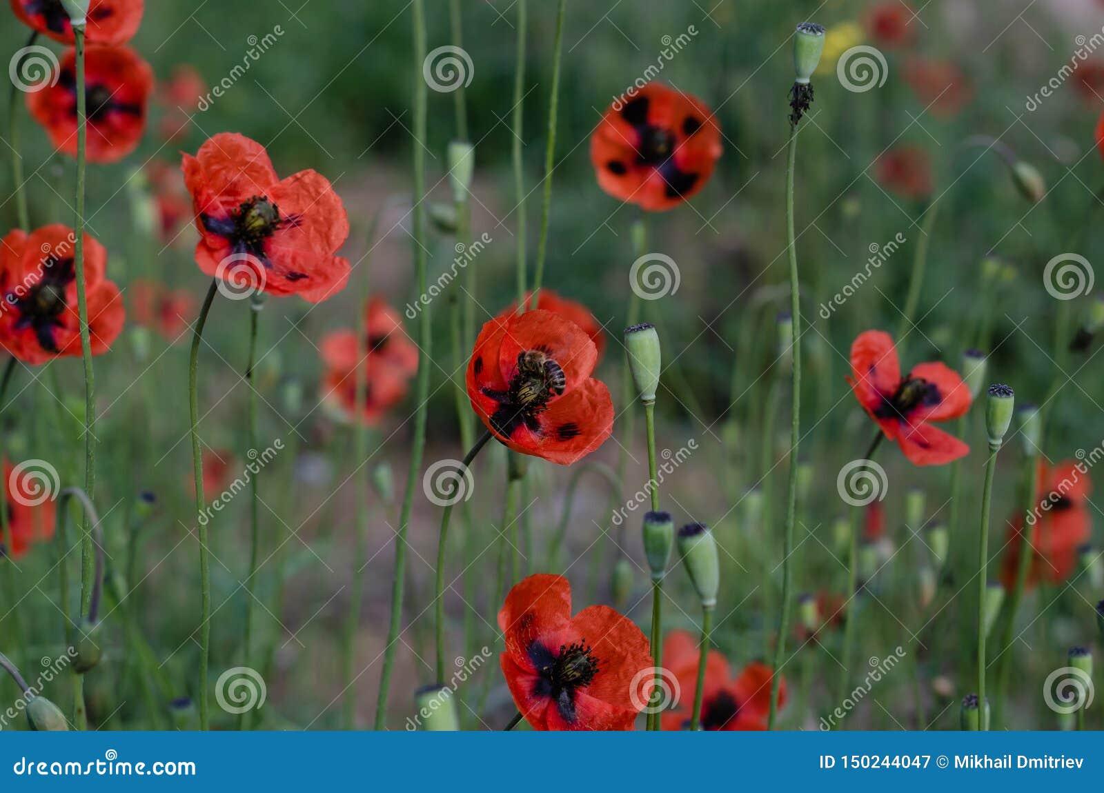 蜂从开花的鸦片收集花蜜 春天5月蜂蜜raznotravie r