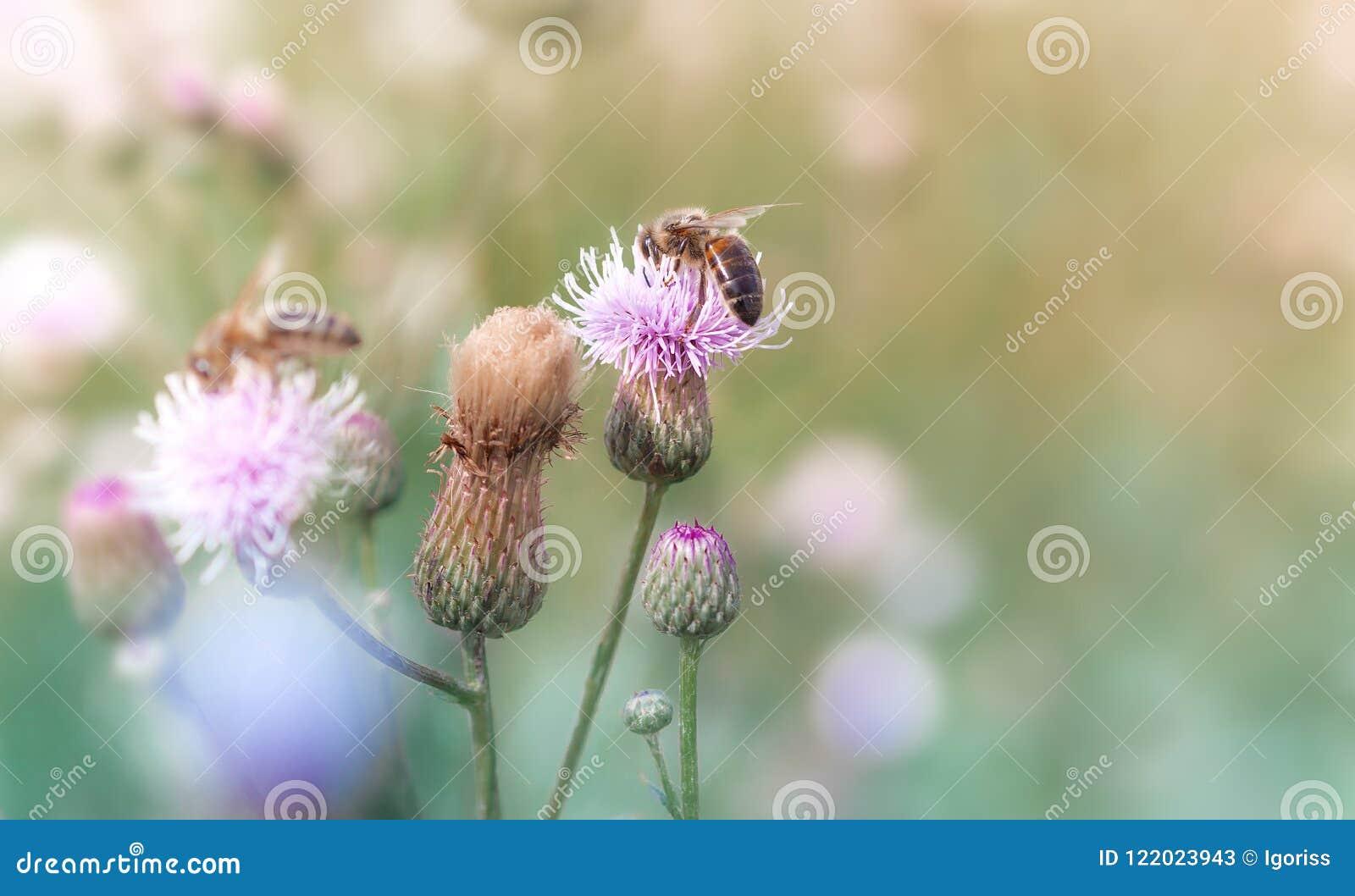 蜂从花收集花蜜在夏天草甸