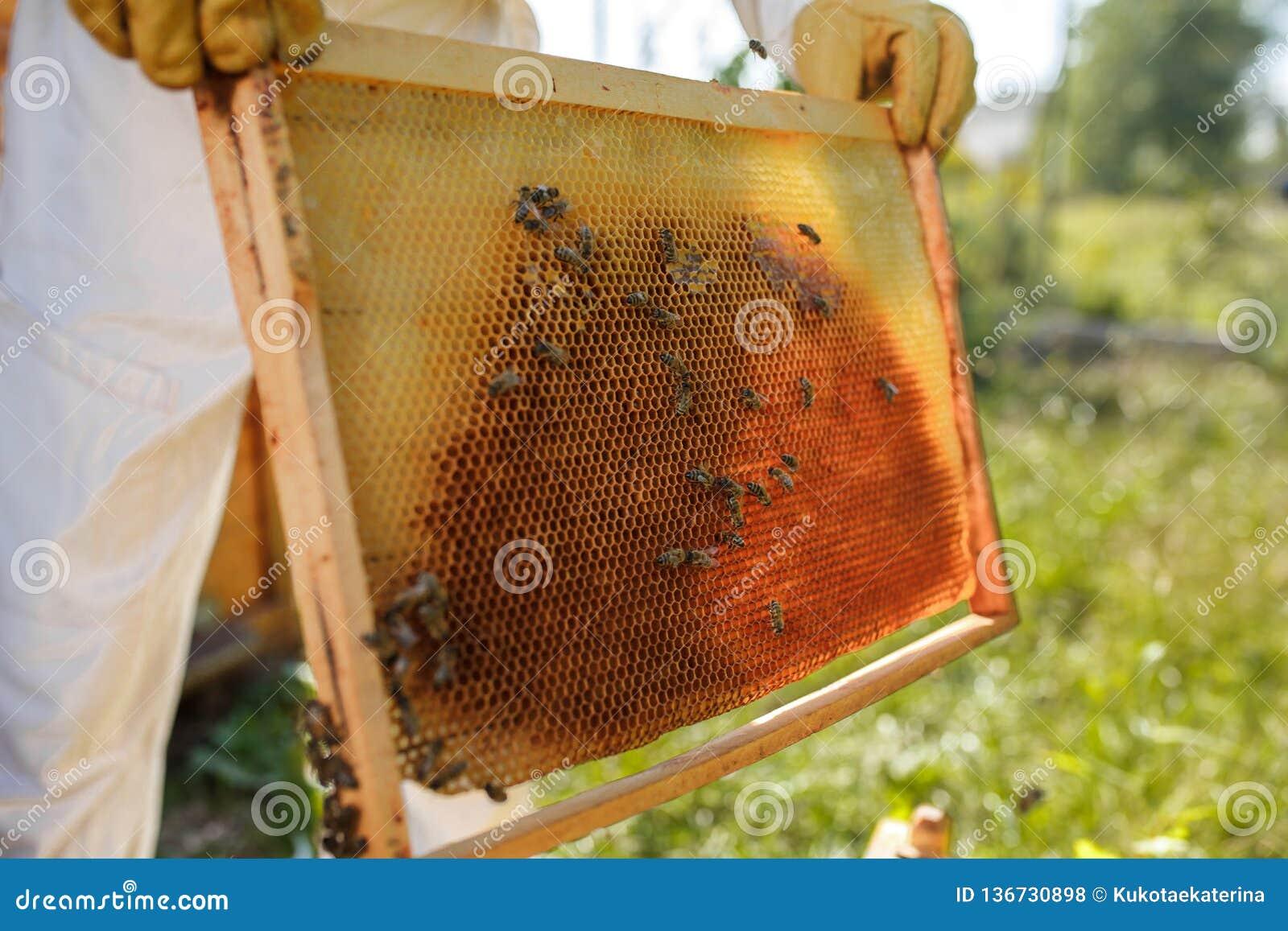 蜂农的特写镜头手拿着与蜂窝的木制框架 收集蜂蜜 养蜂业概念