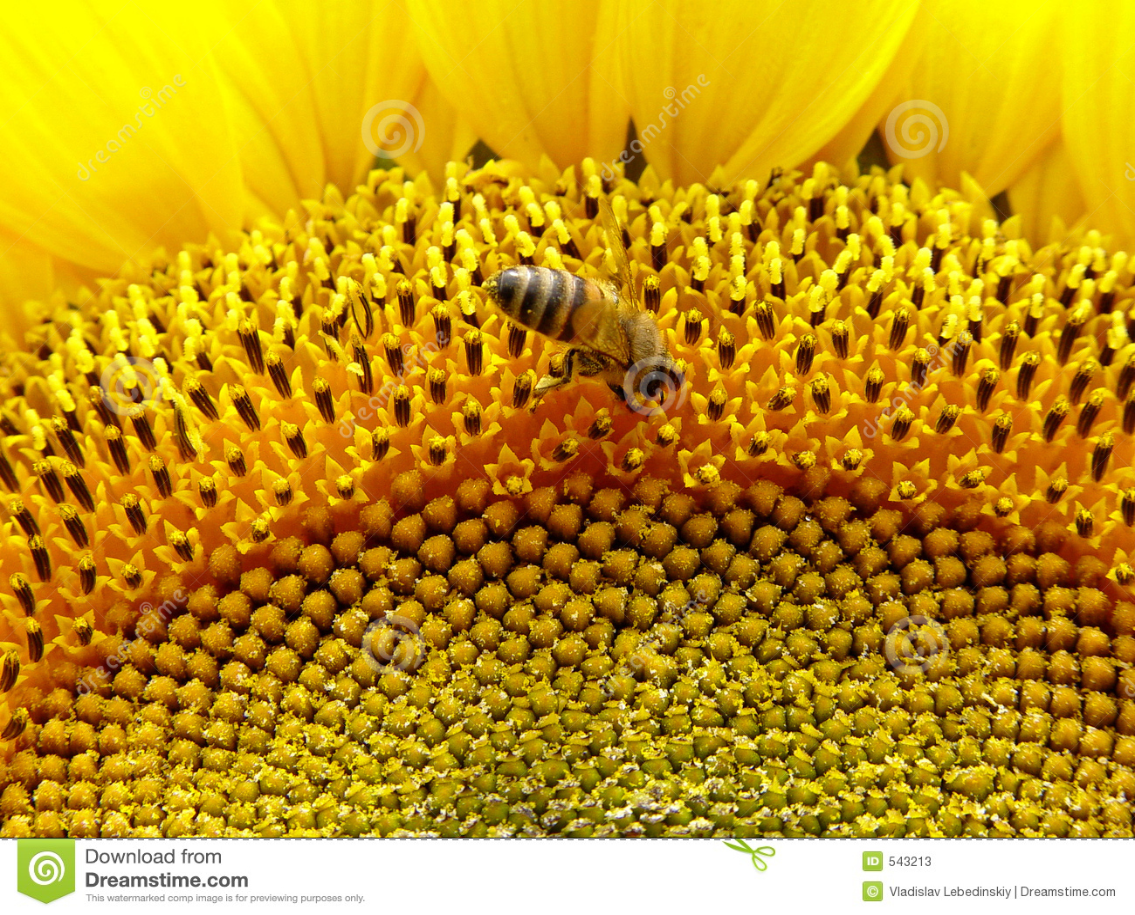 Download 蜂向日葵 库存图片. 图片 包括有 收获, 查找, 飞行, 寻呼机, 相当, 速度, 英俊, 饱和, 收集, 绽放 - 543213