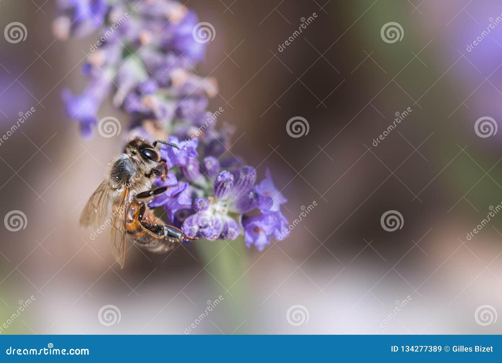蜂在淡紫色的工作