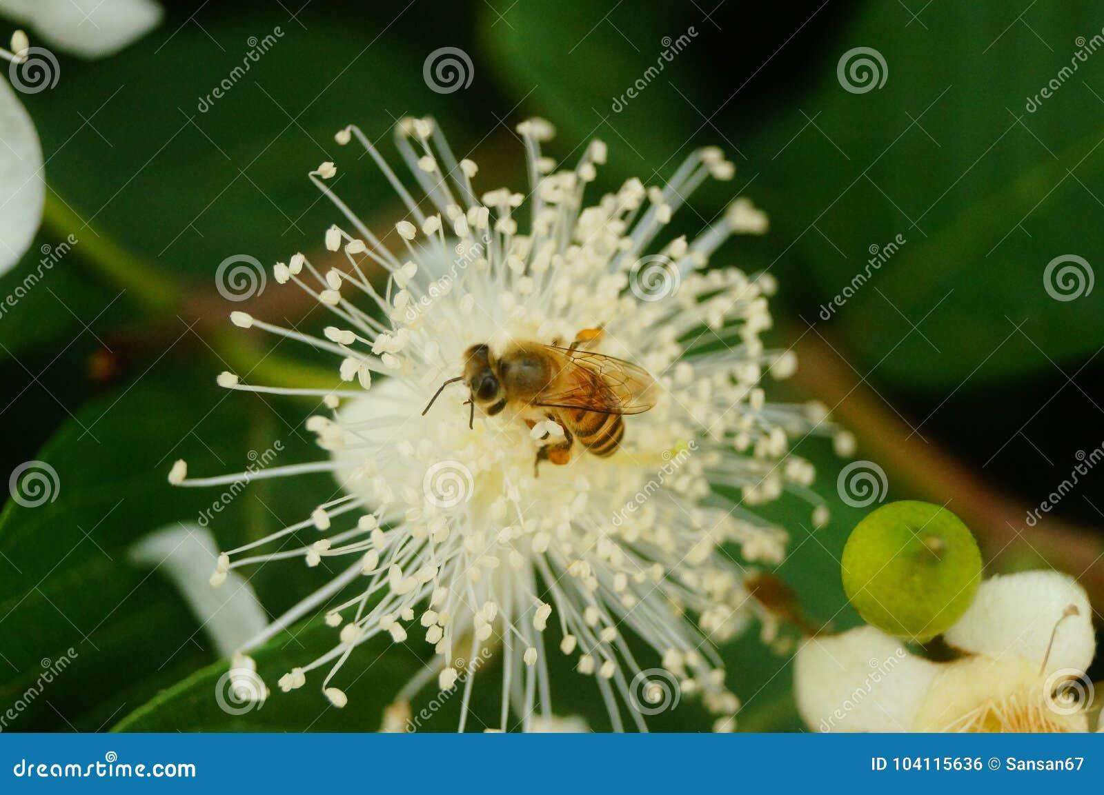 蜂在白花放置他们的头并且采摘蜂蜜
