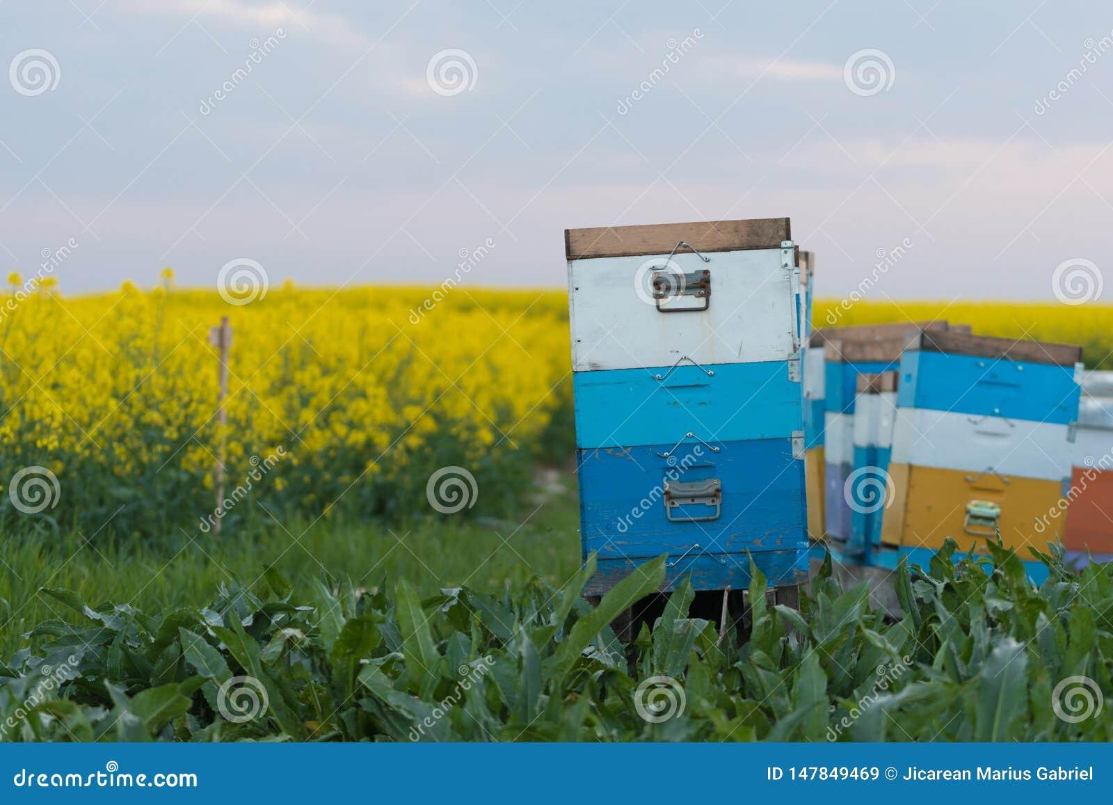 蜂在领域分群 在蜂箱的蜂