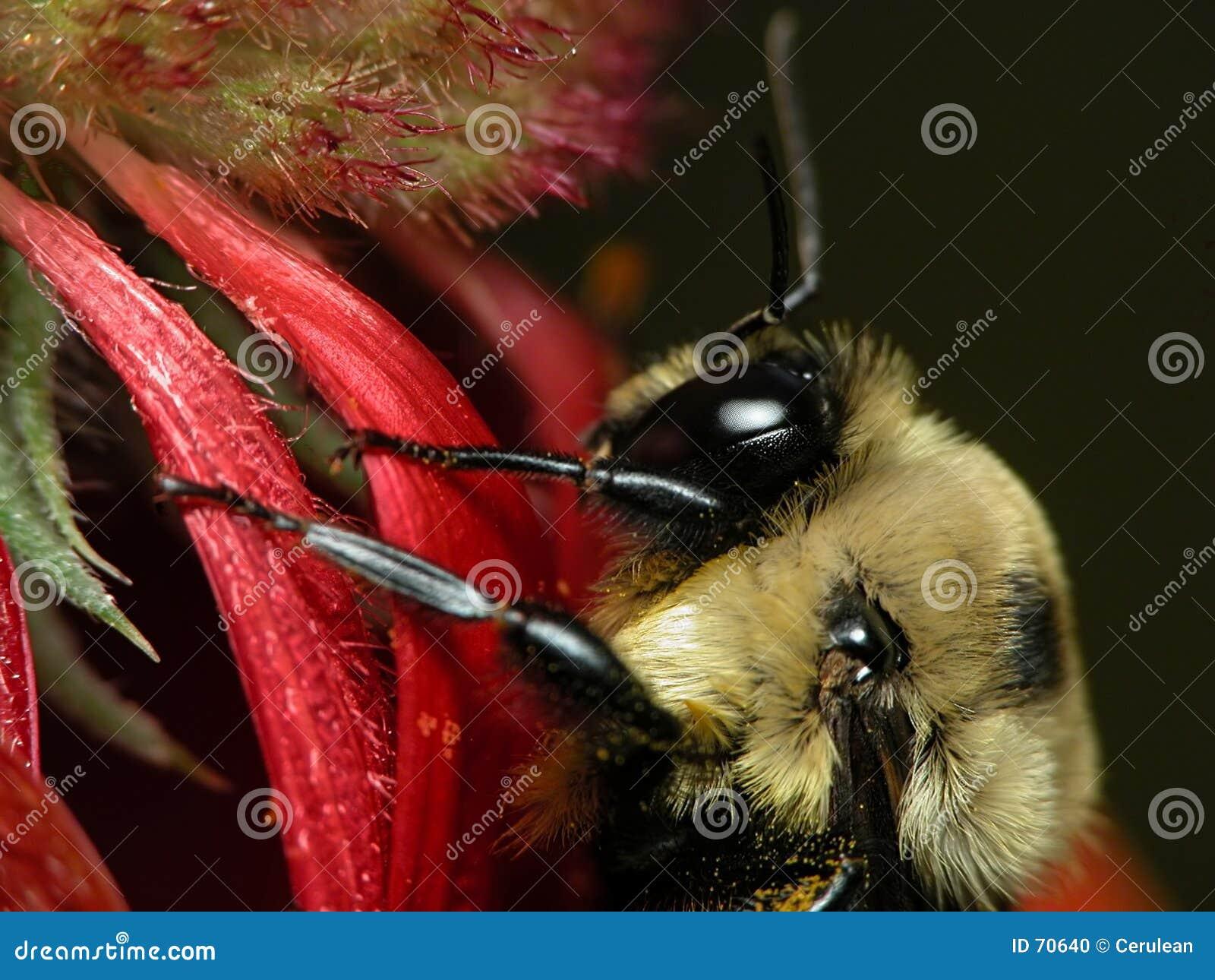 蜂天人菊属植物
