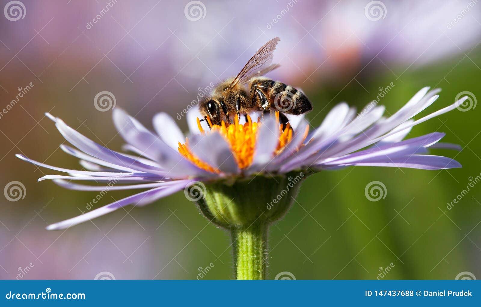 蜂或蜜蜂坐花