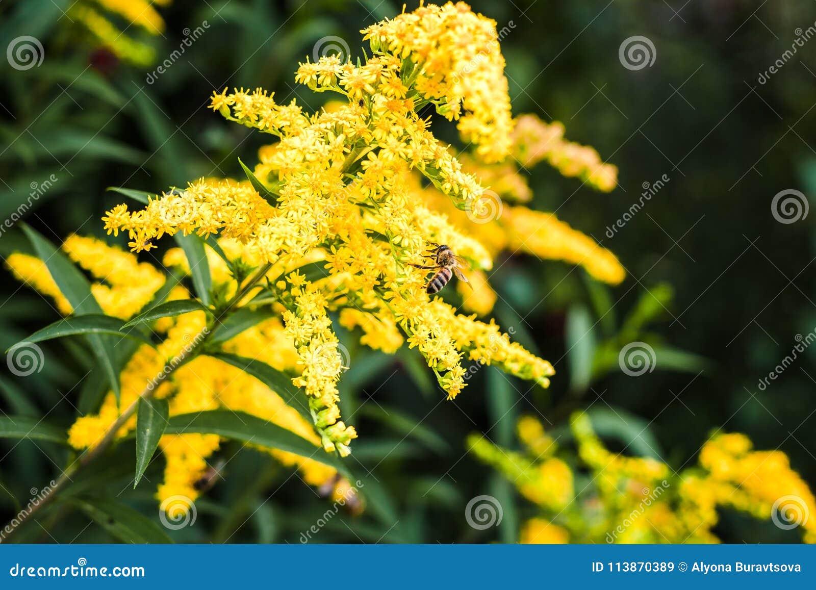 蜂收集在一个黄色含羞草的花蜜