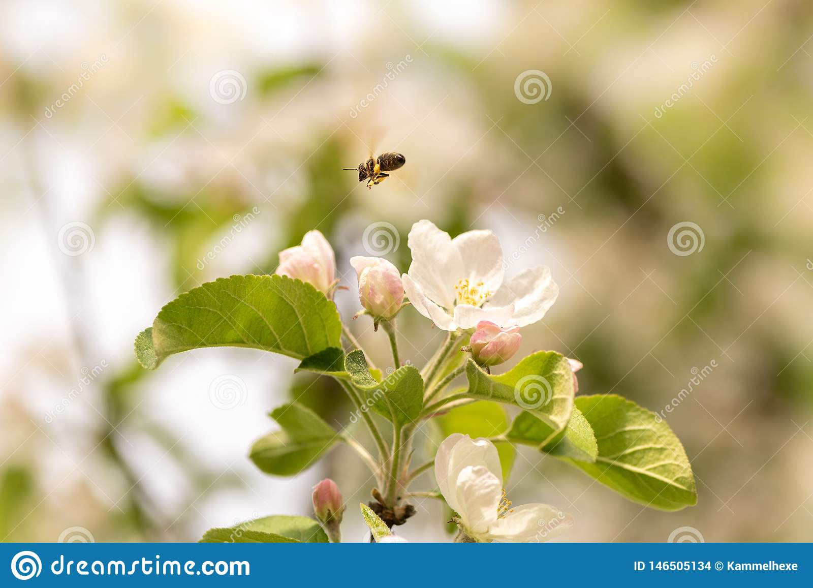 蜂收集在苹果开花-在天空蔚蓝前面的蜜蜂的蜂蜜