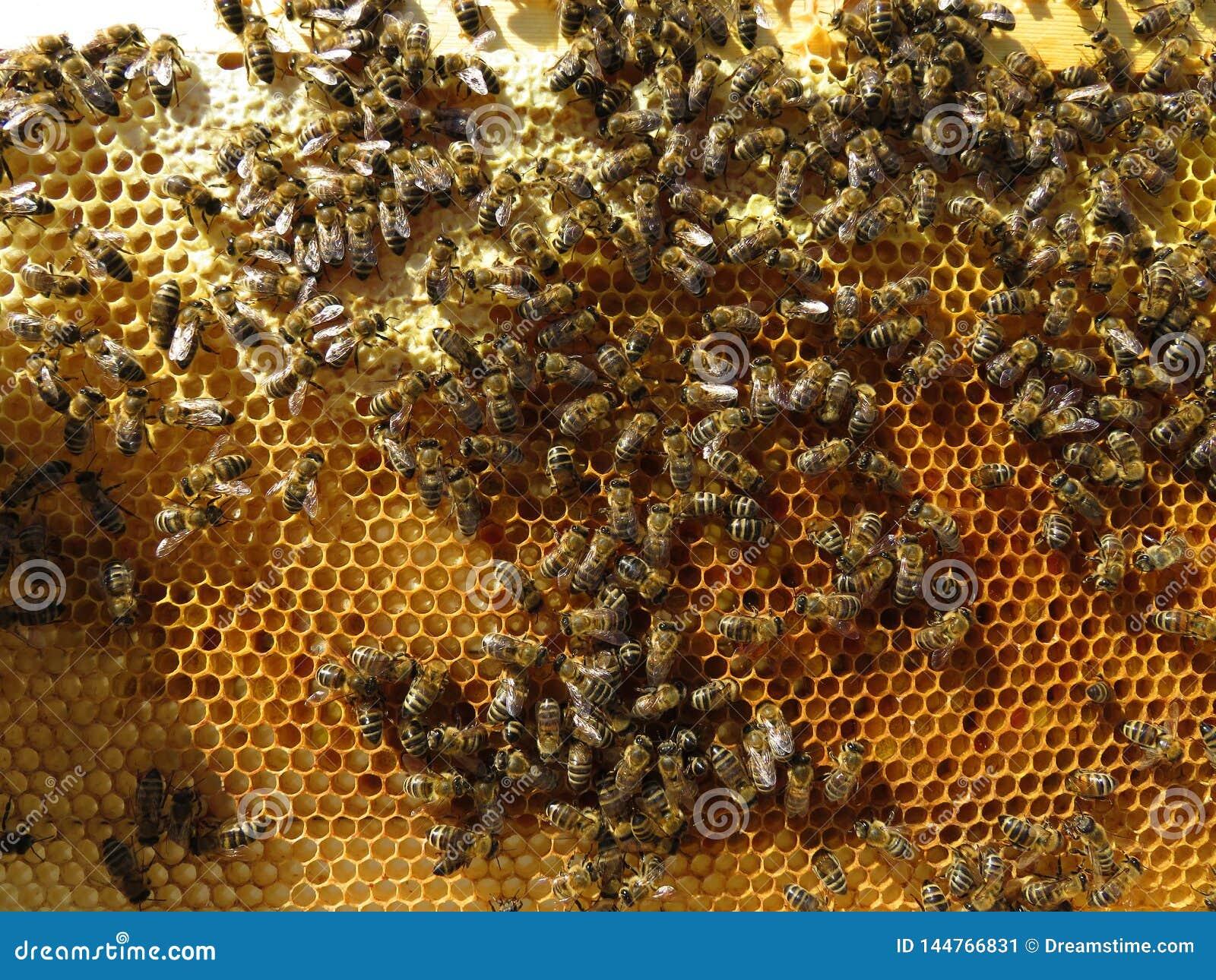 蜂收集花蜜和花粉