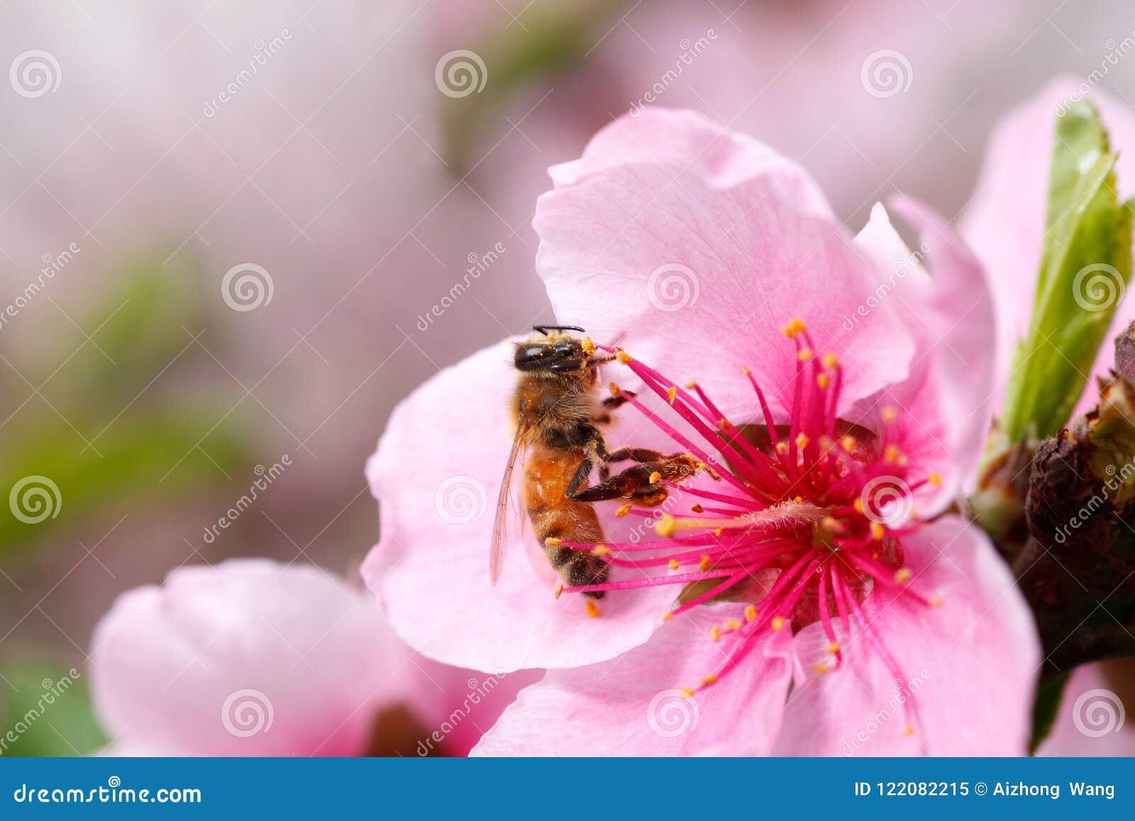 蜂收集花蜜