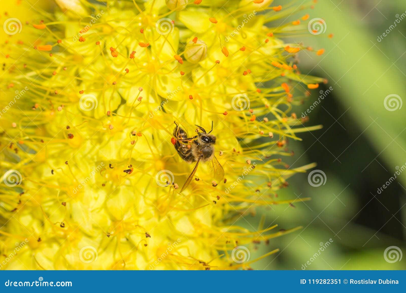 蜂的特写镜头照片 蜜蜂收集花粉特写镜头 蜂的照片坐一朵黄色花 蜂授粉