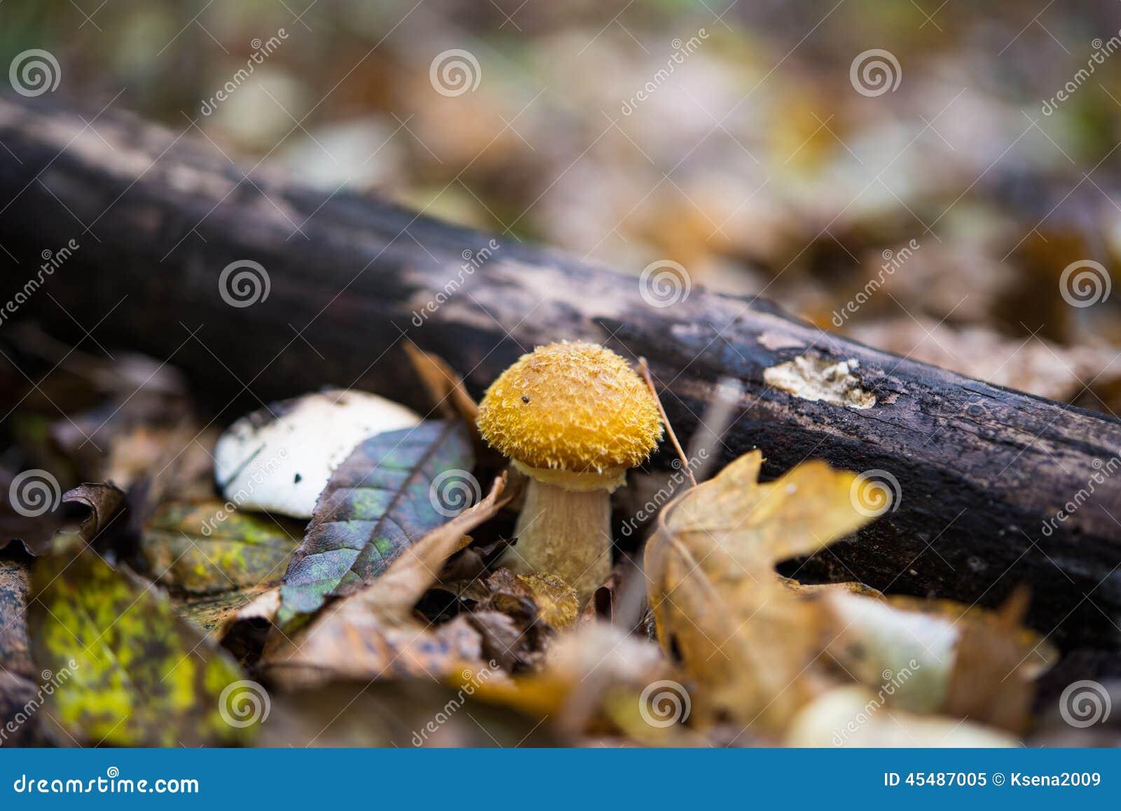 蜂蜜伞菌蘑菇