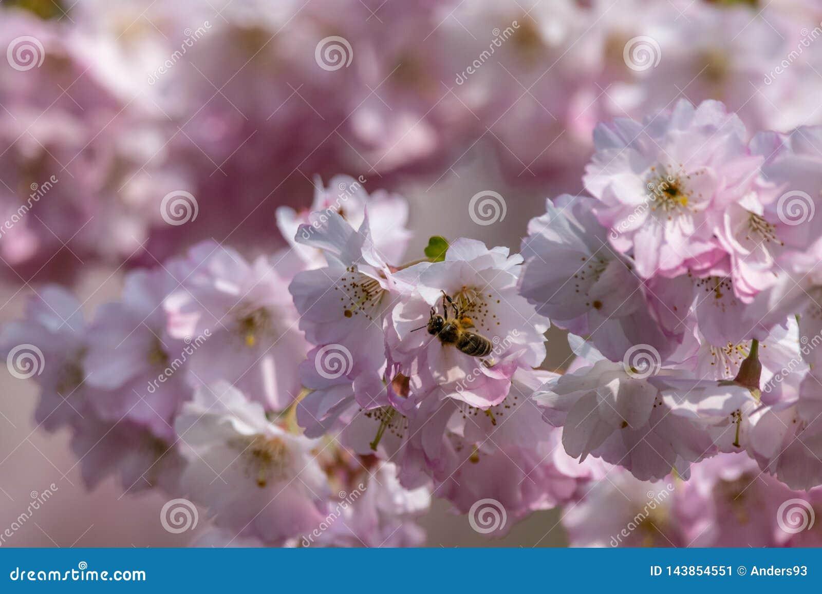 蜂蜜收集花蜜花粉的蜂Apis从白色桃红色樱花在早期的春天
