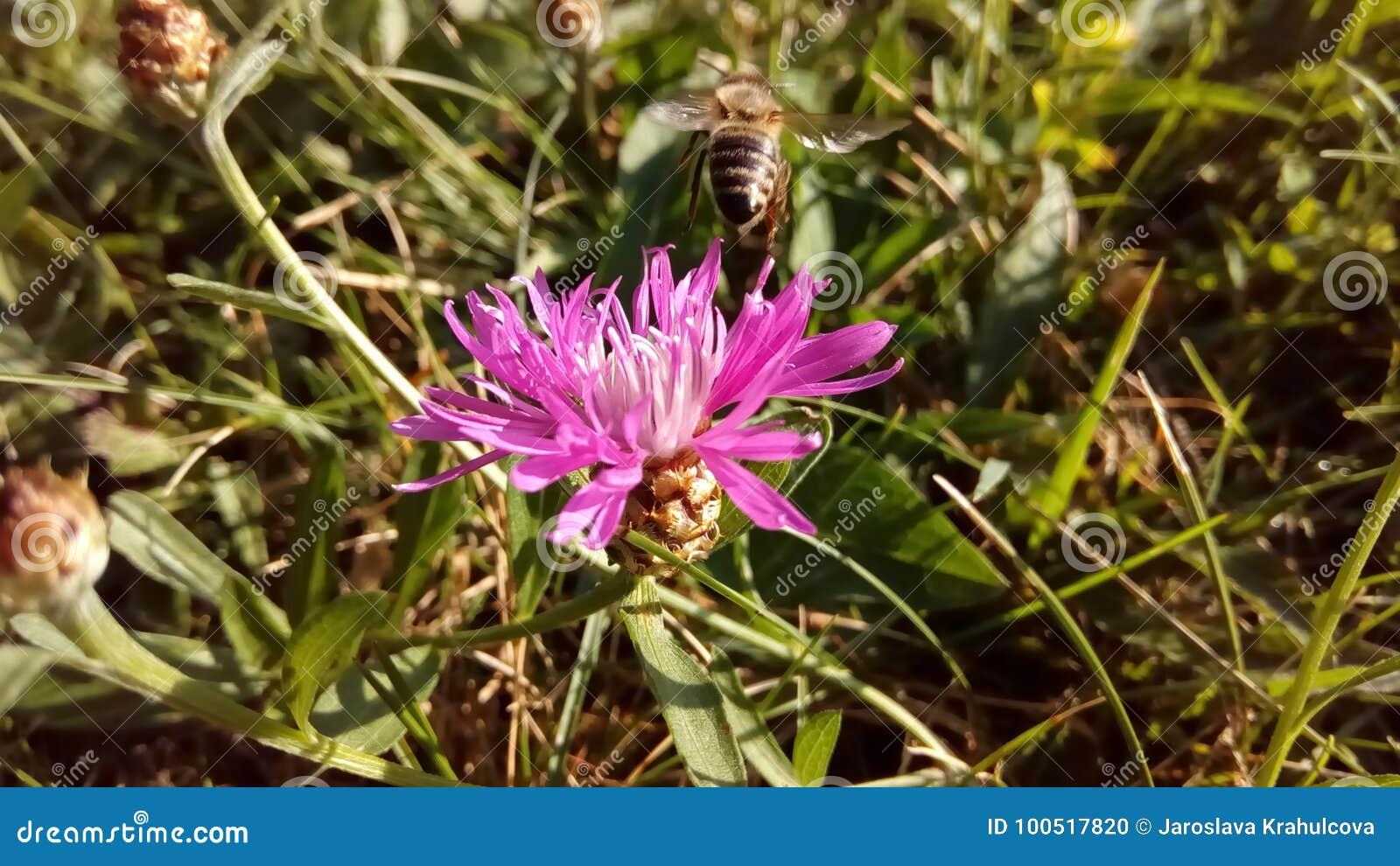 蜂蜜蜂和花