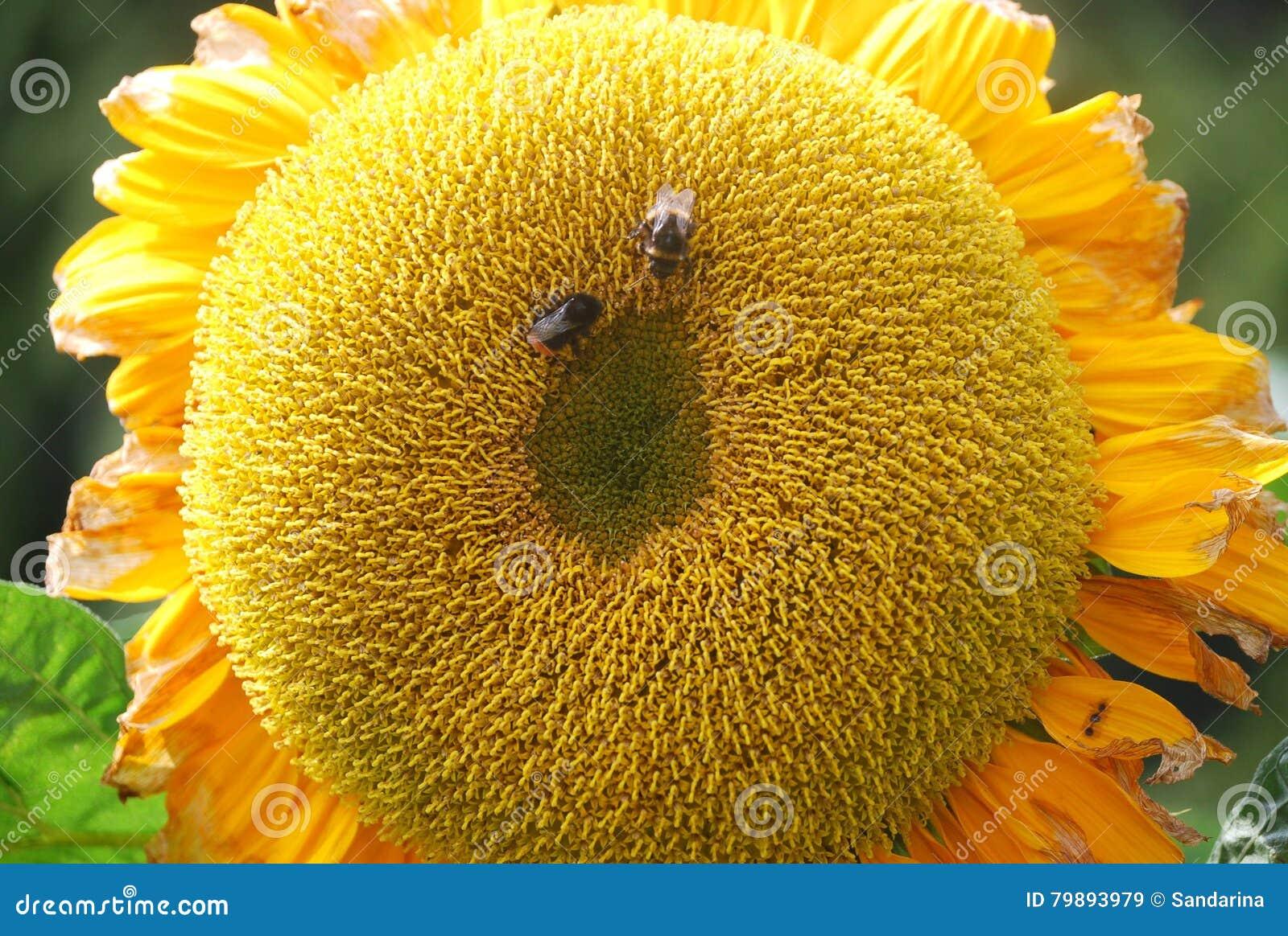 蜂蜜蜂太阳花