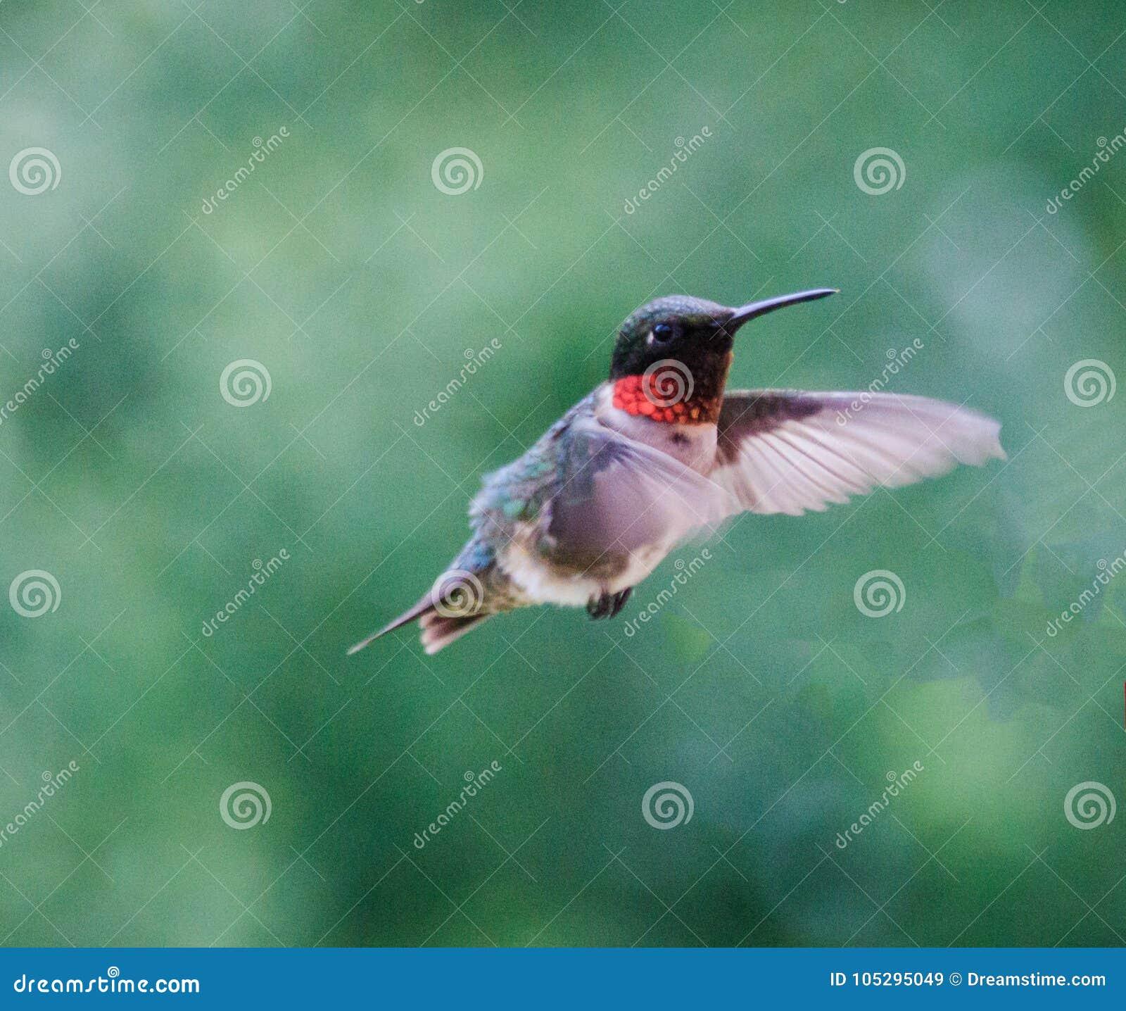 蜂鸟男性红宝石红喉刺莺