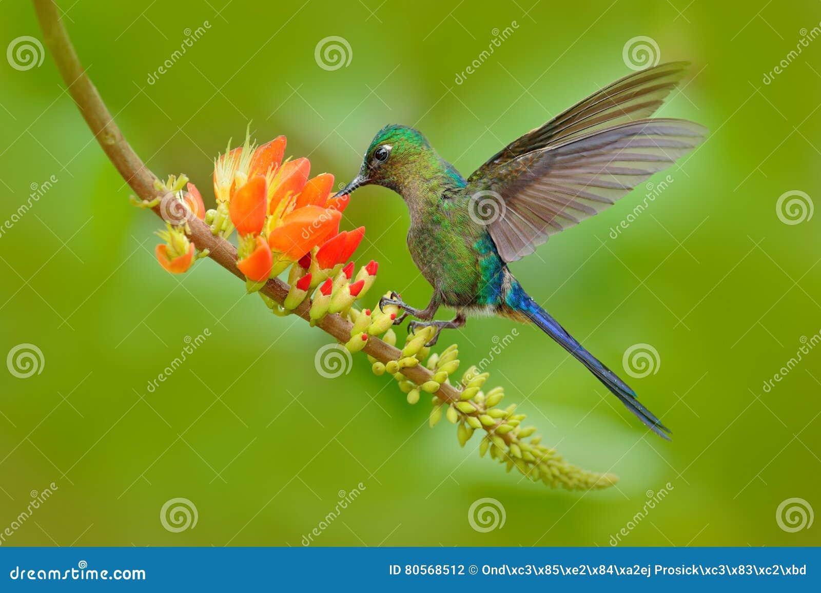蜂鸟长尾的空气的精灵, Aglaiocercus kingi,用长的蓝色从橙色花的尾巴哺养的花蜜,美好的行动场面w