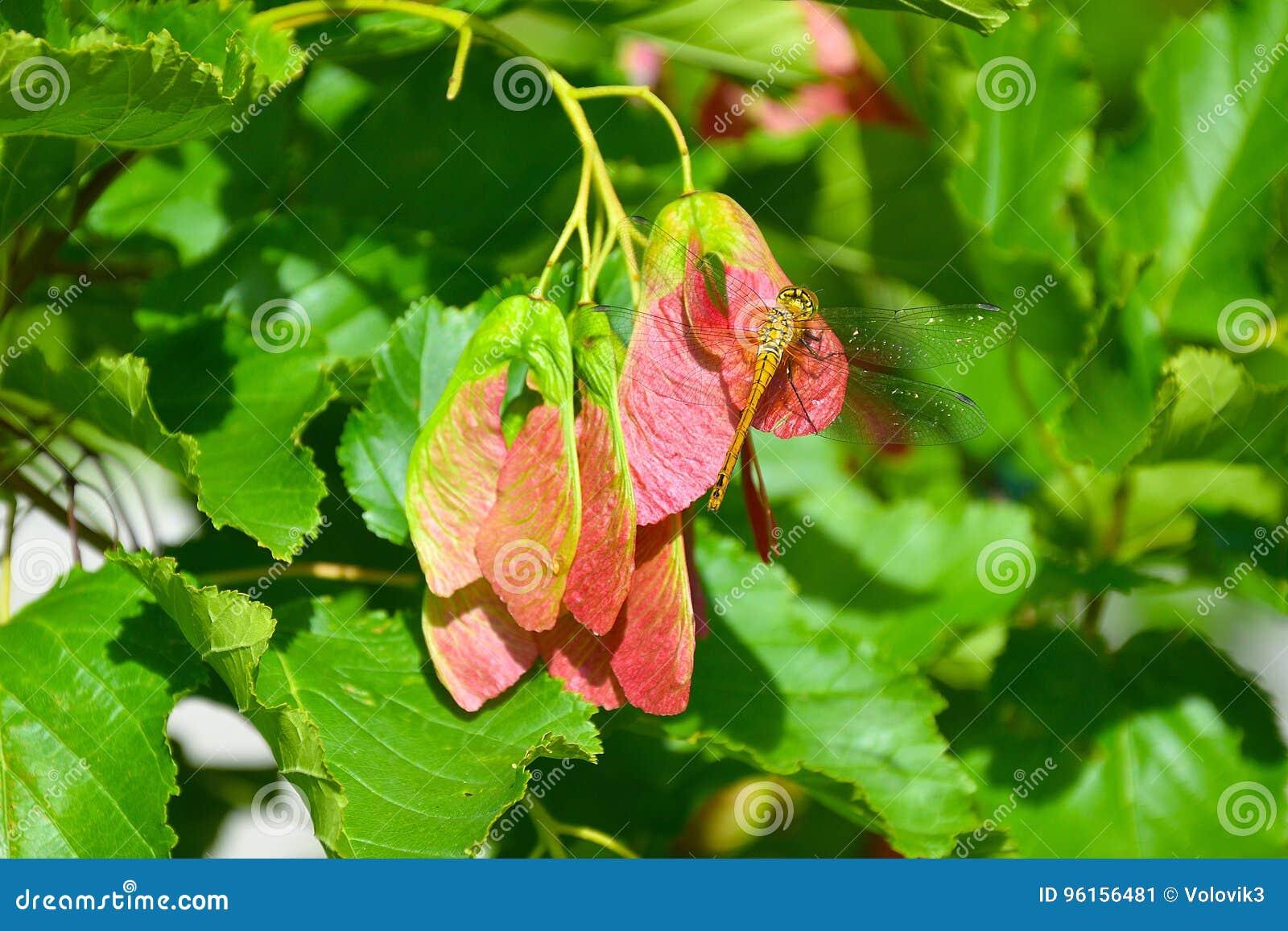 蜻蜓坐红槭种子
