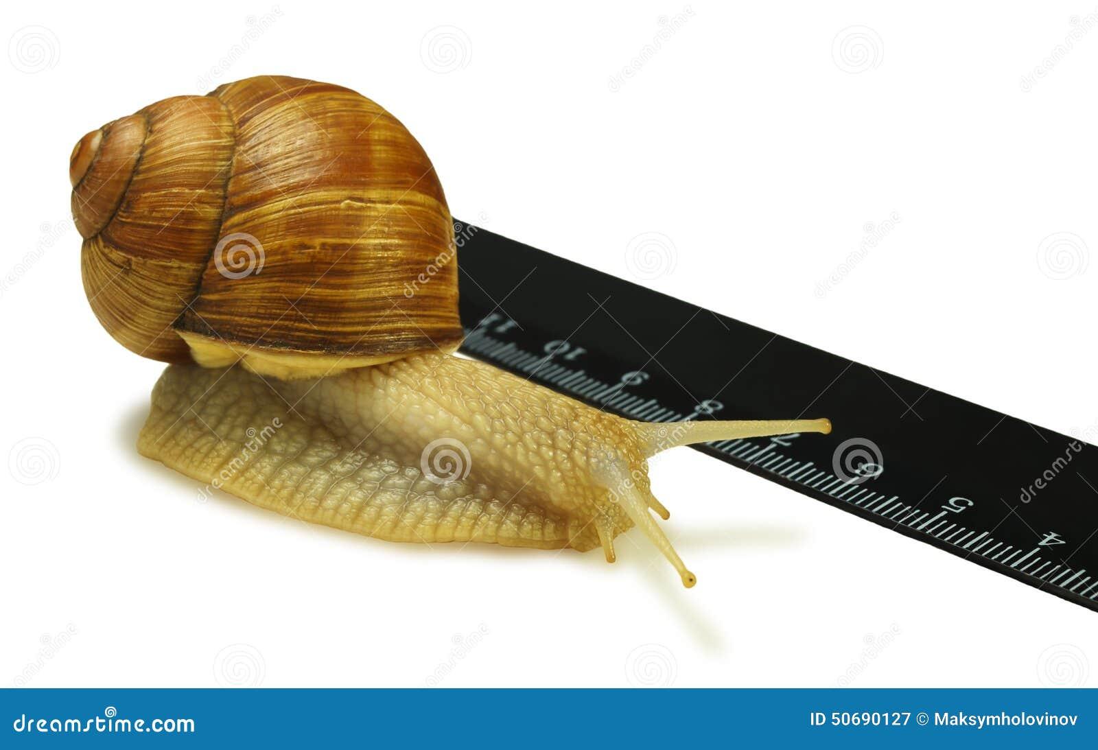 Download 蜗牛和统治者 库存图片. 图片 包括有 本质, 巧克力精炼机, 线路, 爬行, 其次, 生活, 天线, 没人 - 50690127