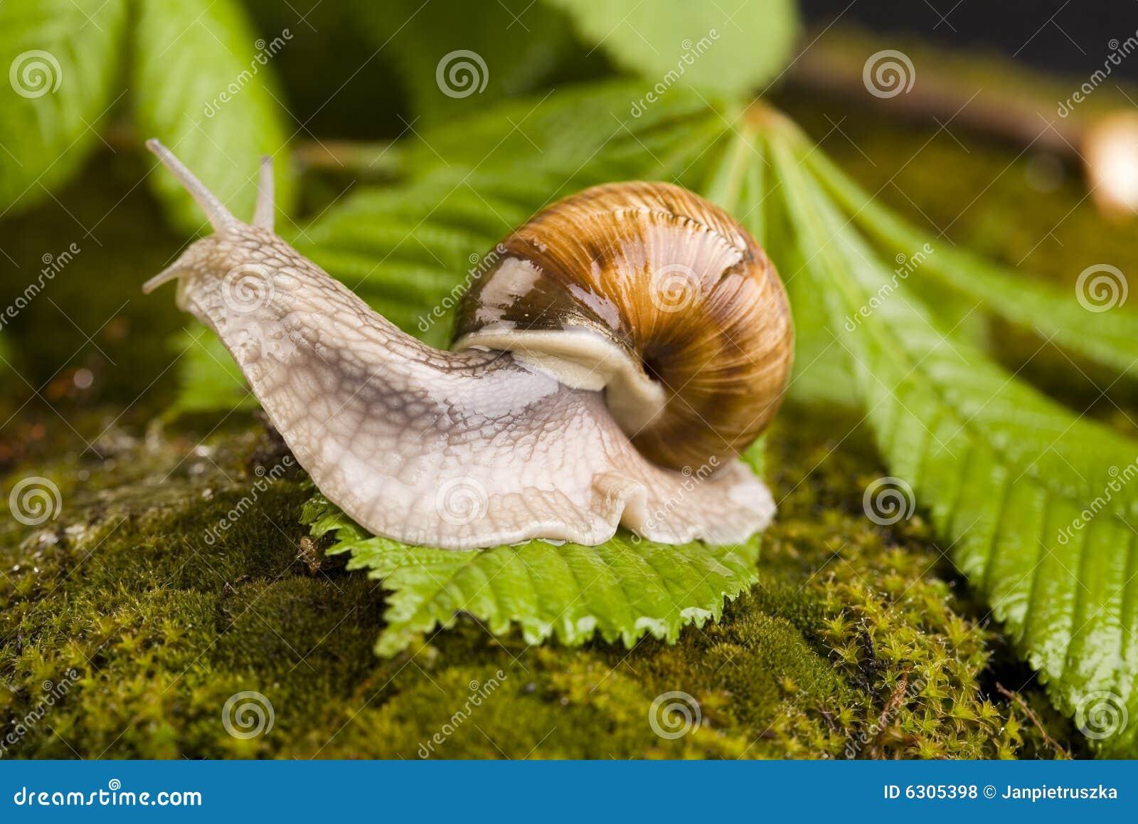 动物包括壳慢的老虎.蜗牛鞭泡酒最佳配方图片