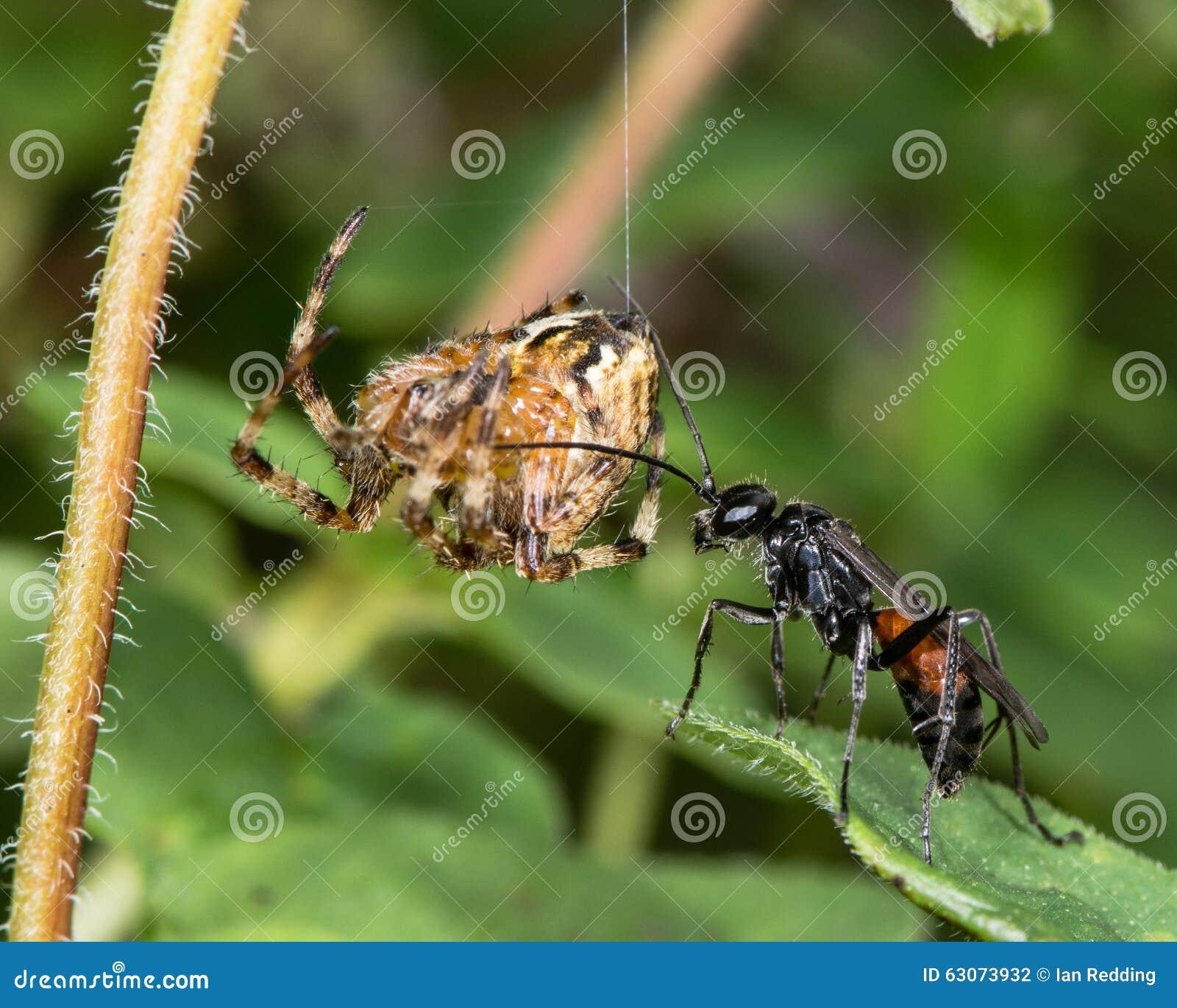 蜘蛛狩猎黄蜂与垂悬在丝绸螺纹的被麻痹的蜘蛛牺牲者的Priocnemis exaltata