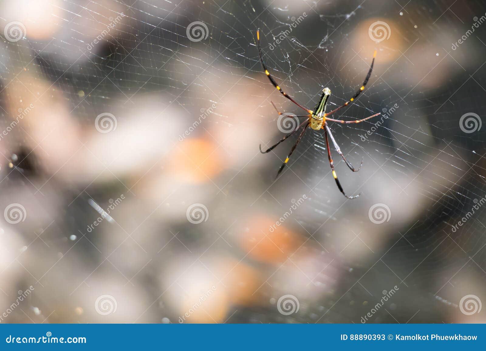蜘蛛等待在网的诱饵